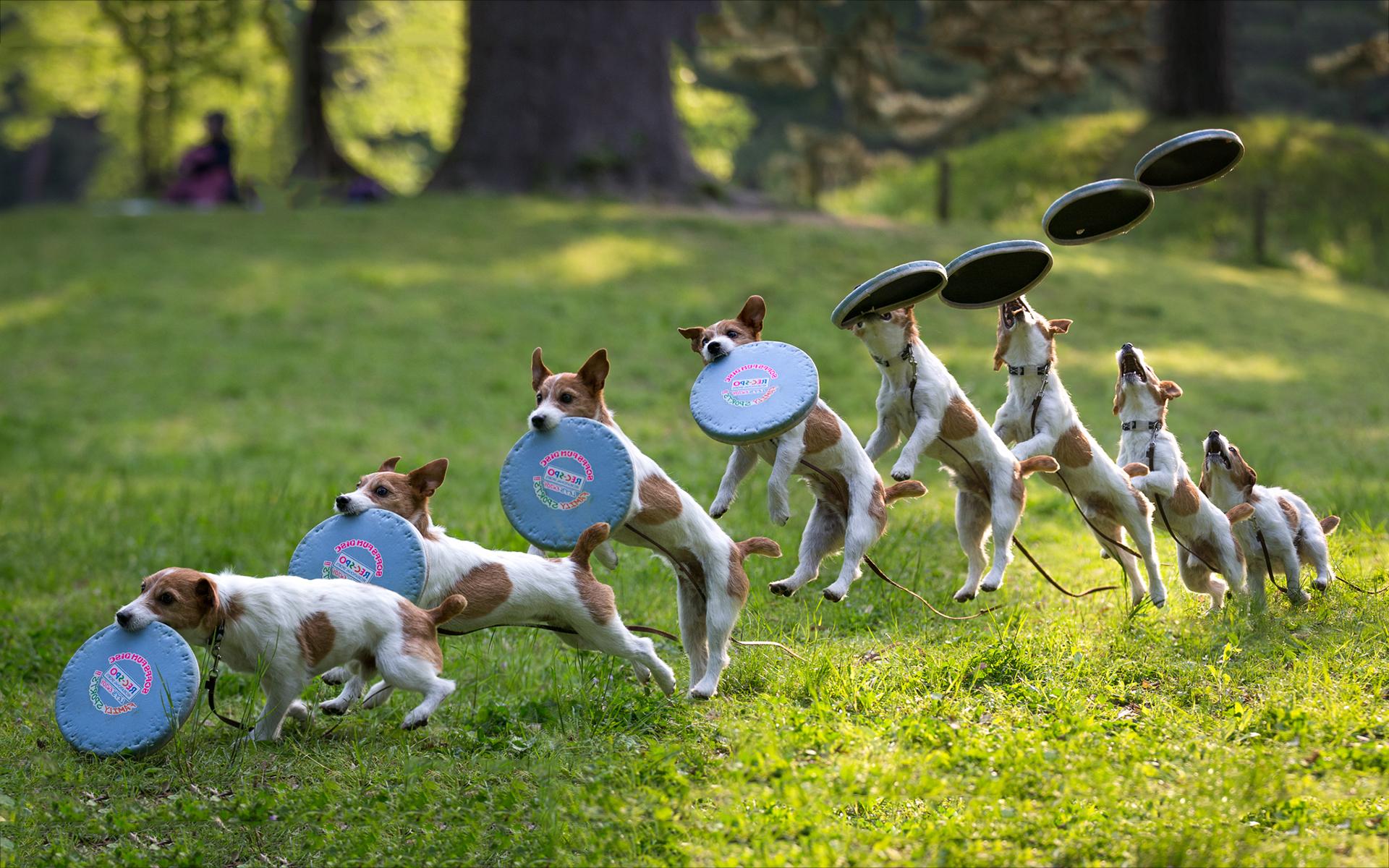 Dog frisbee catch