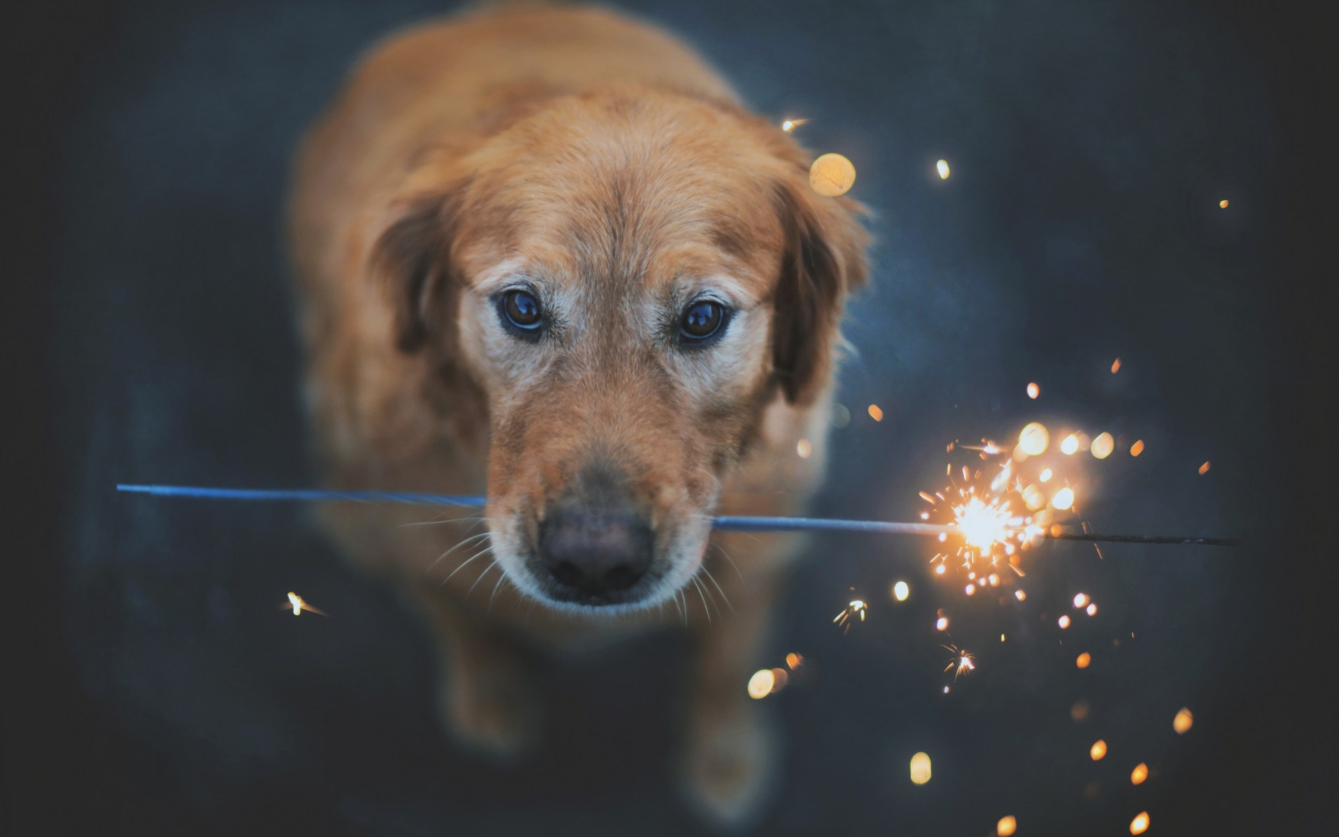 Dog Look Sparkler Firework