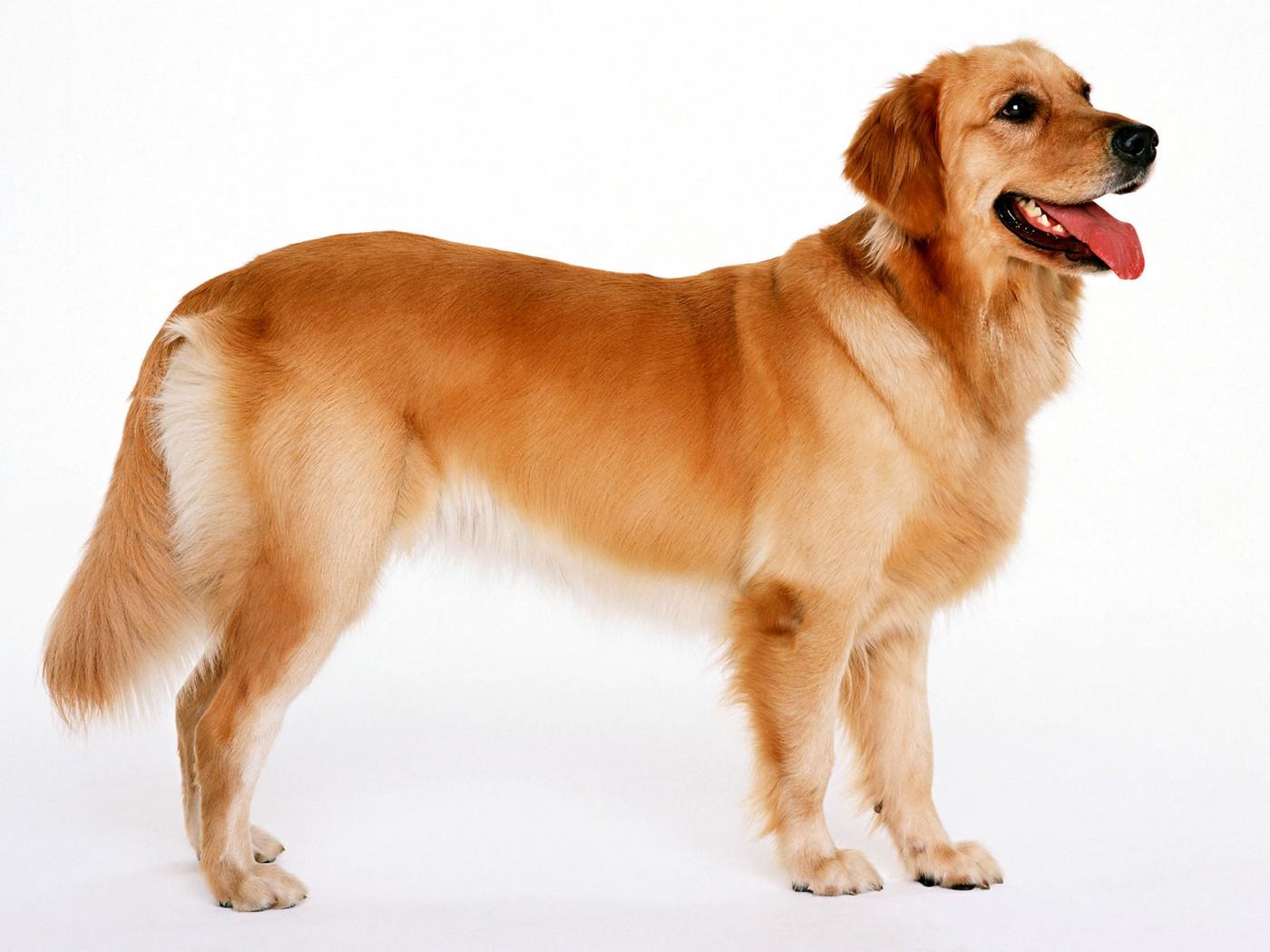 Dog Retriever
