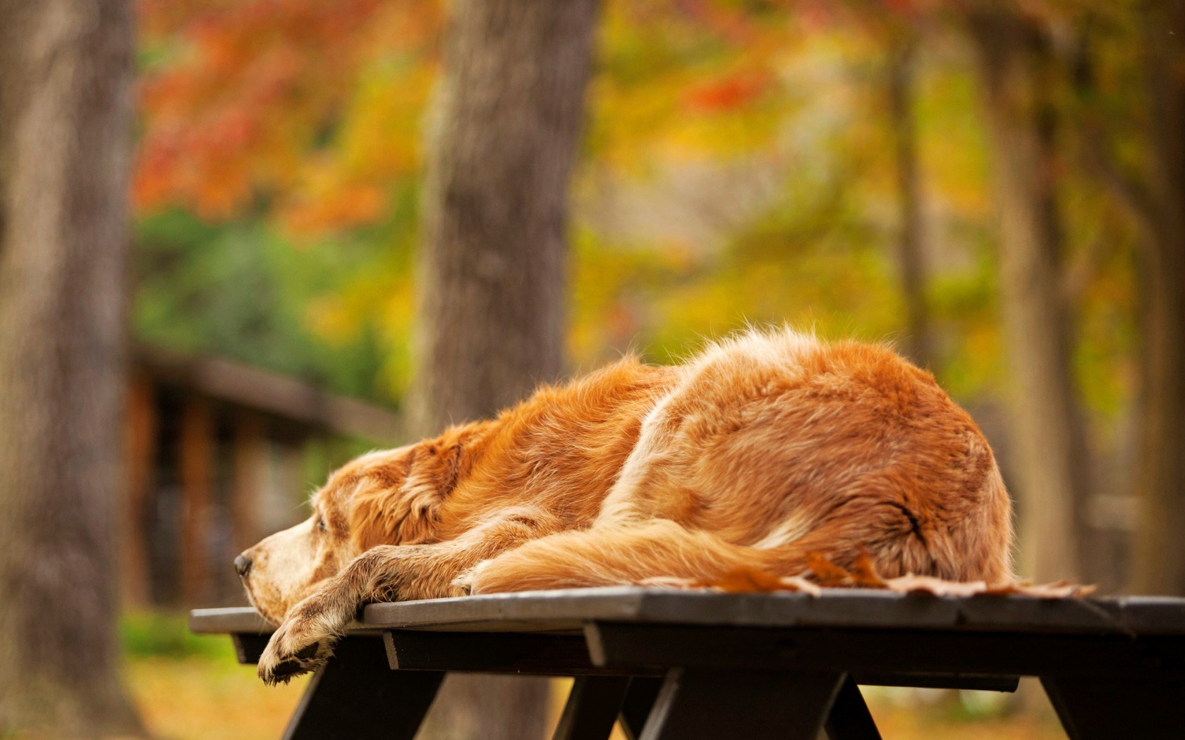 Dog Retriever Golden Nature Autumn