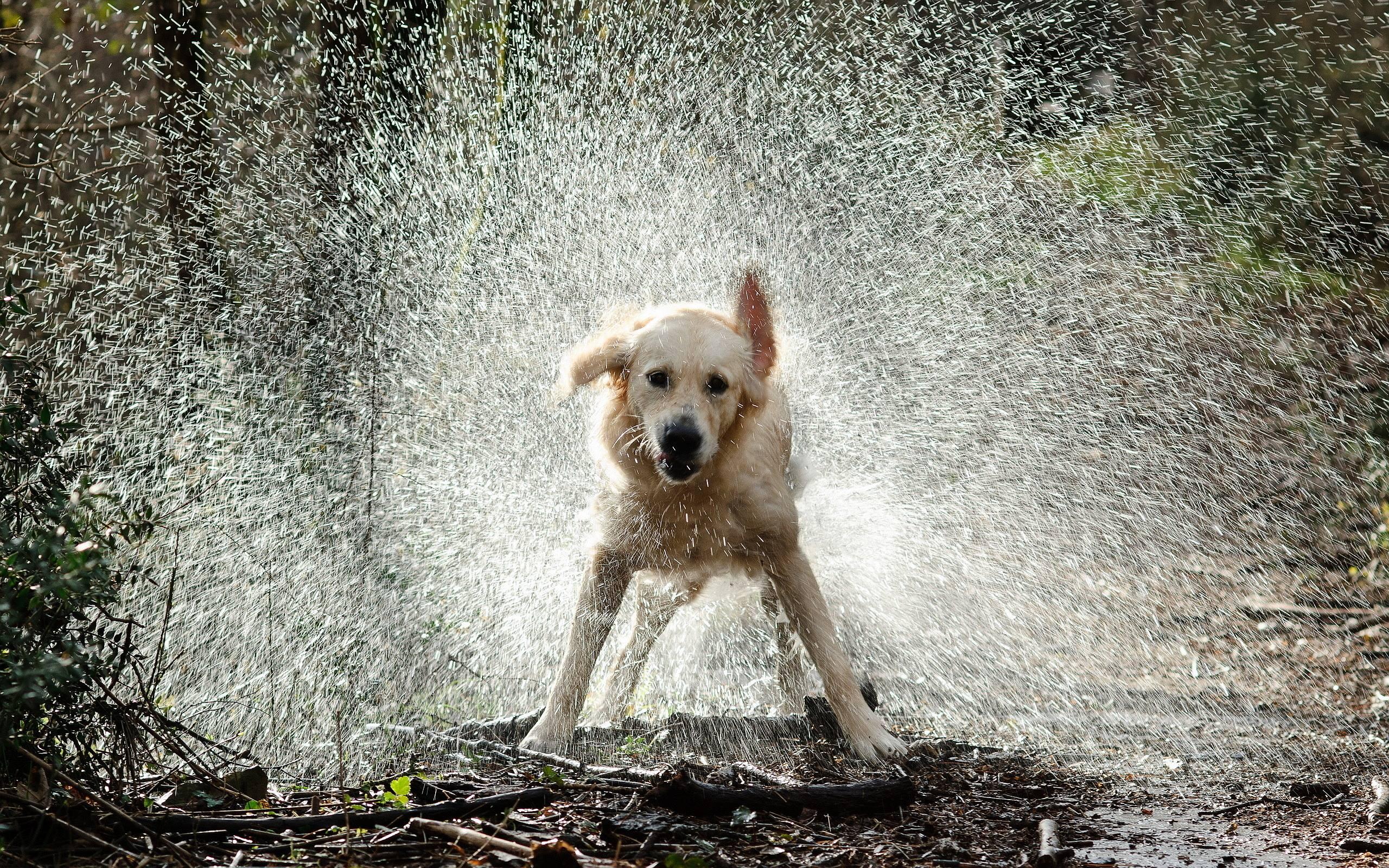 Dog Shake Water