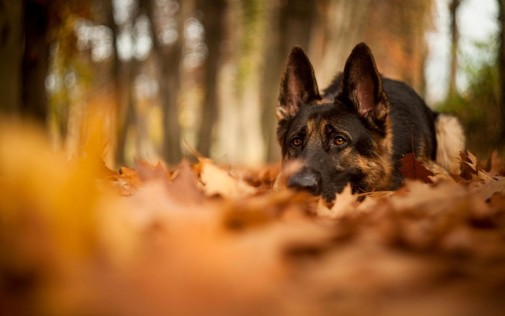 Dog Shepherd Forest Autumn Nature Leaves