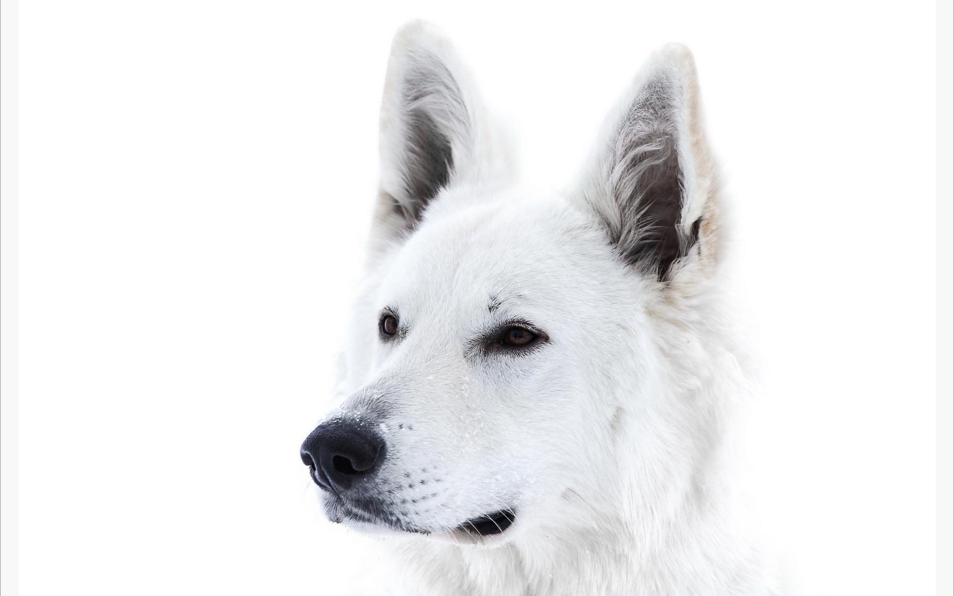 White Dog Snow Wallpaper Picture