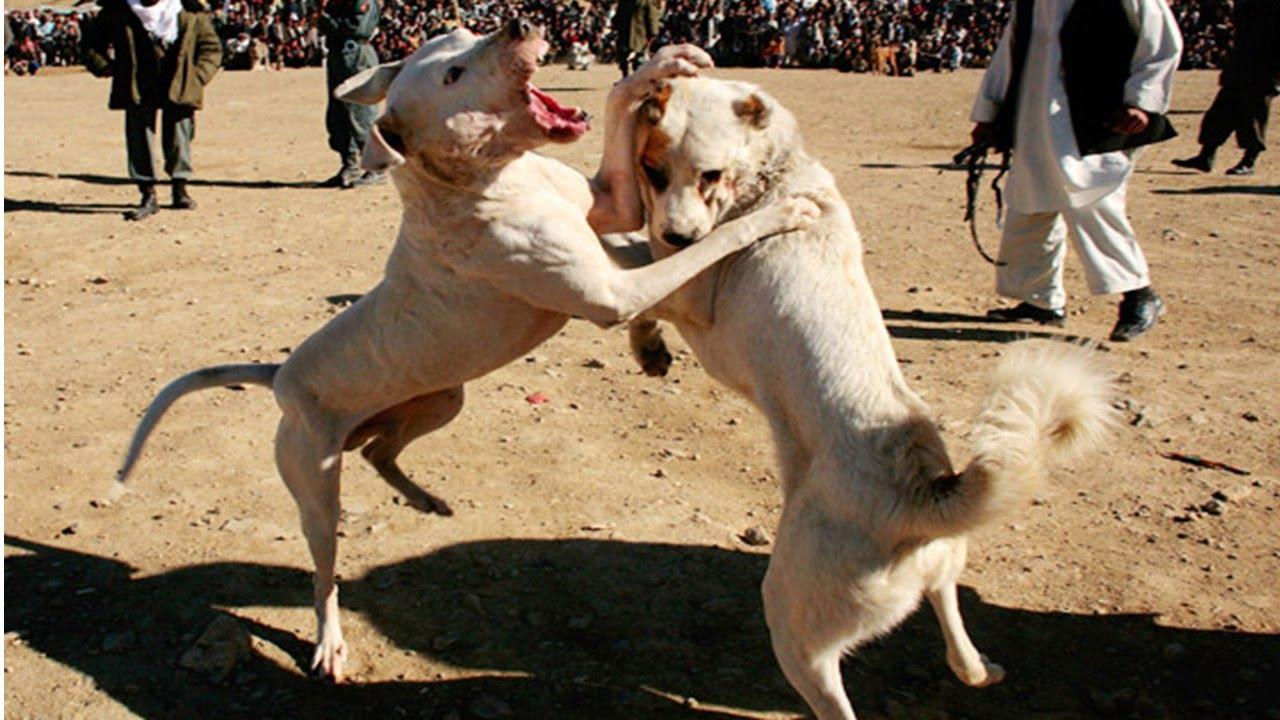 Fotos peleas de perros 29