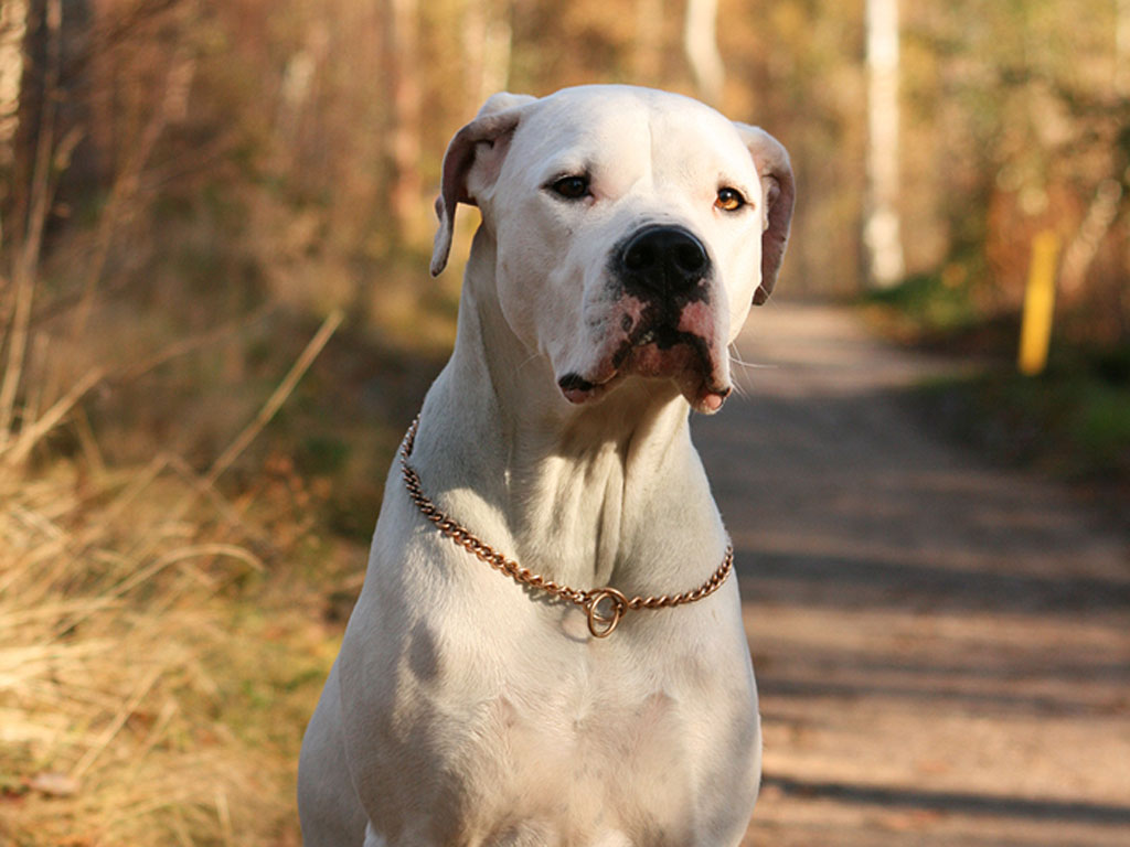 Dogo Argentino wallpaper