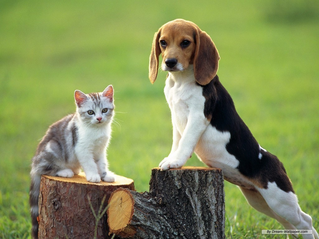 Dogs Beagles