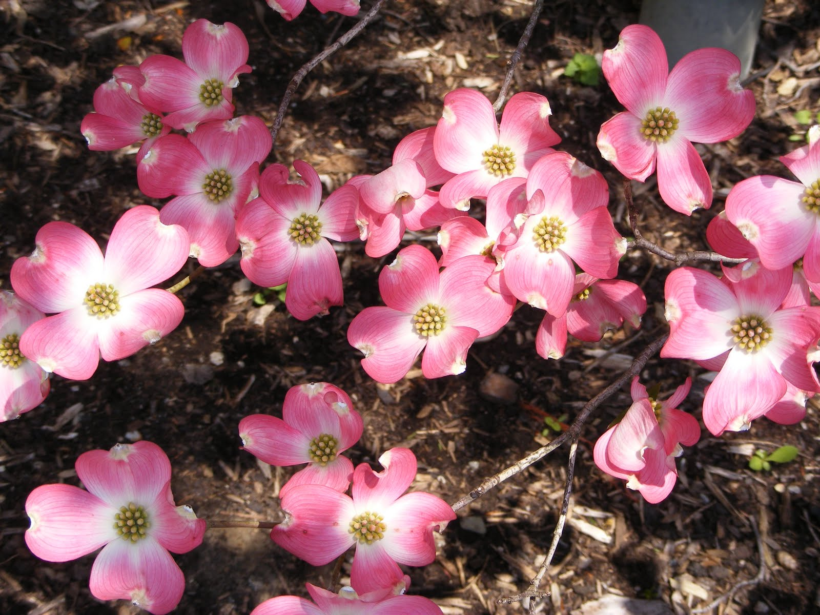 Dogwood Blooms Wallpaper DH wallpapers - Dogwood Blooms Wallpaper