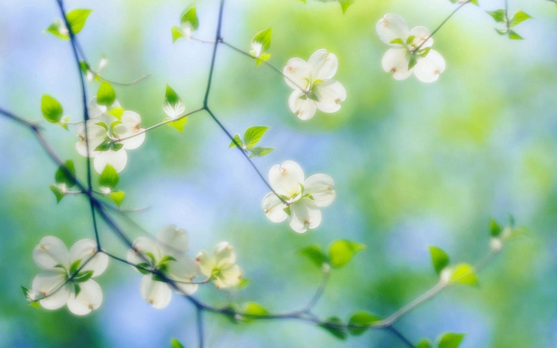 Dogwood Flowers Background