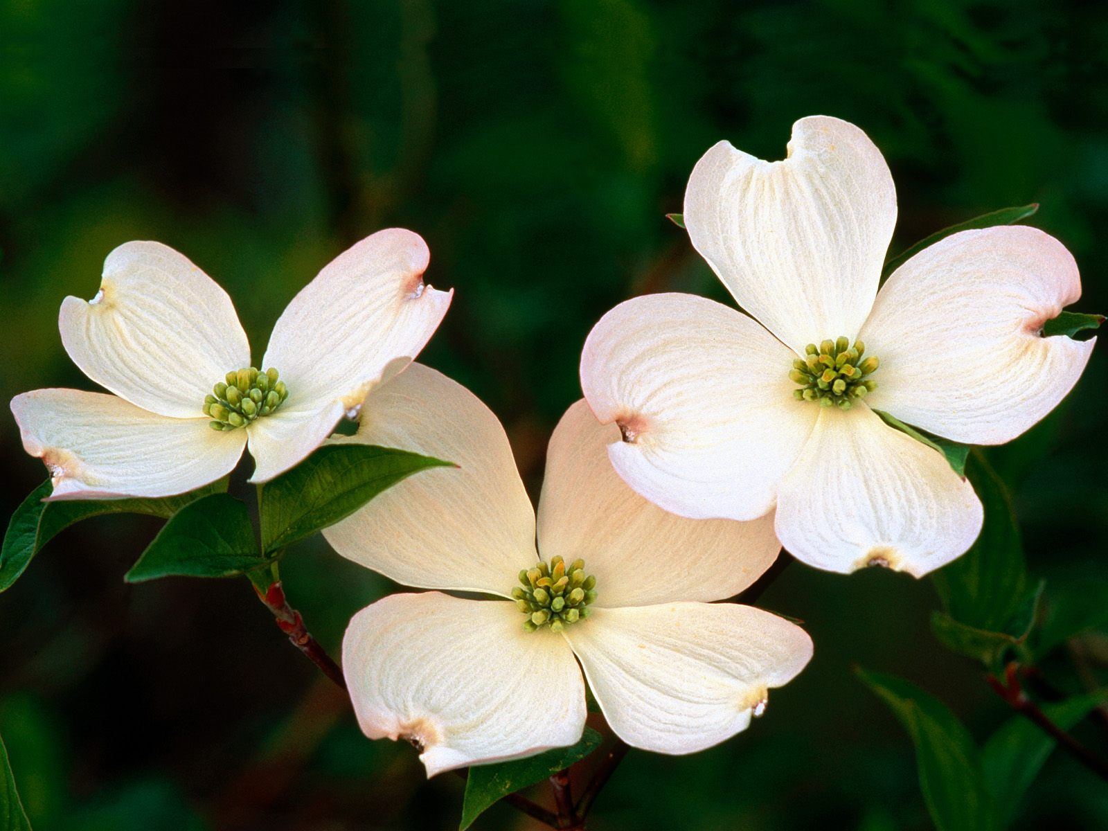 Wallpaper Information: Dogwood Flowers Picture 37241