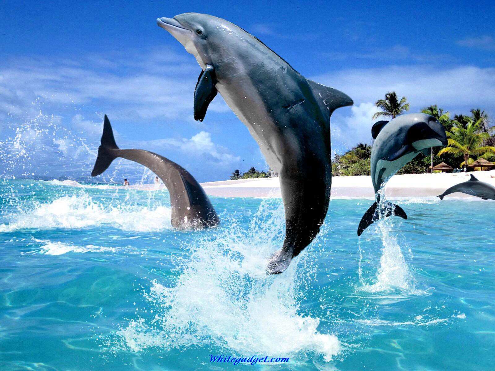 Dolphin Wallpapers2