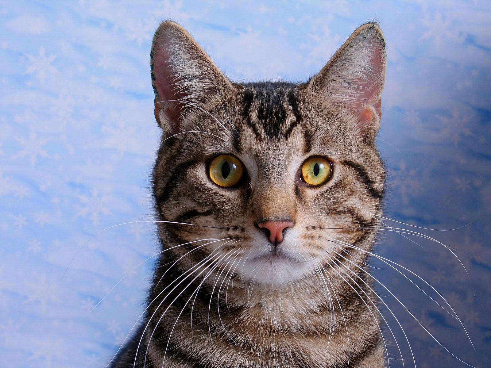 Desktop Wallpaper · Gallery · Animals American Shorthair English domestic cat