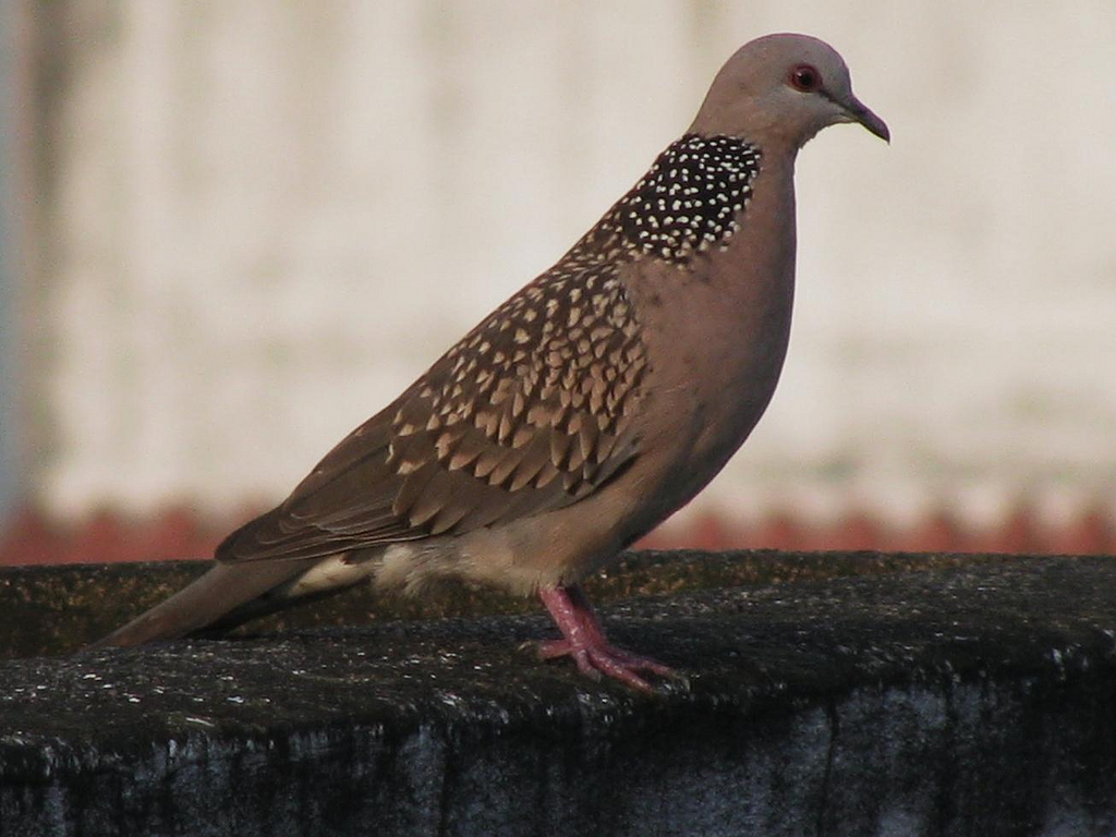 The spotted dove, which is most commonly found in Southeast Asia
