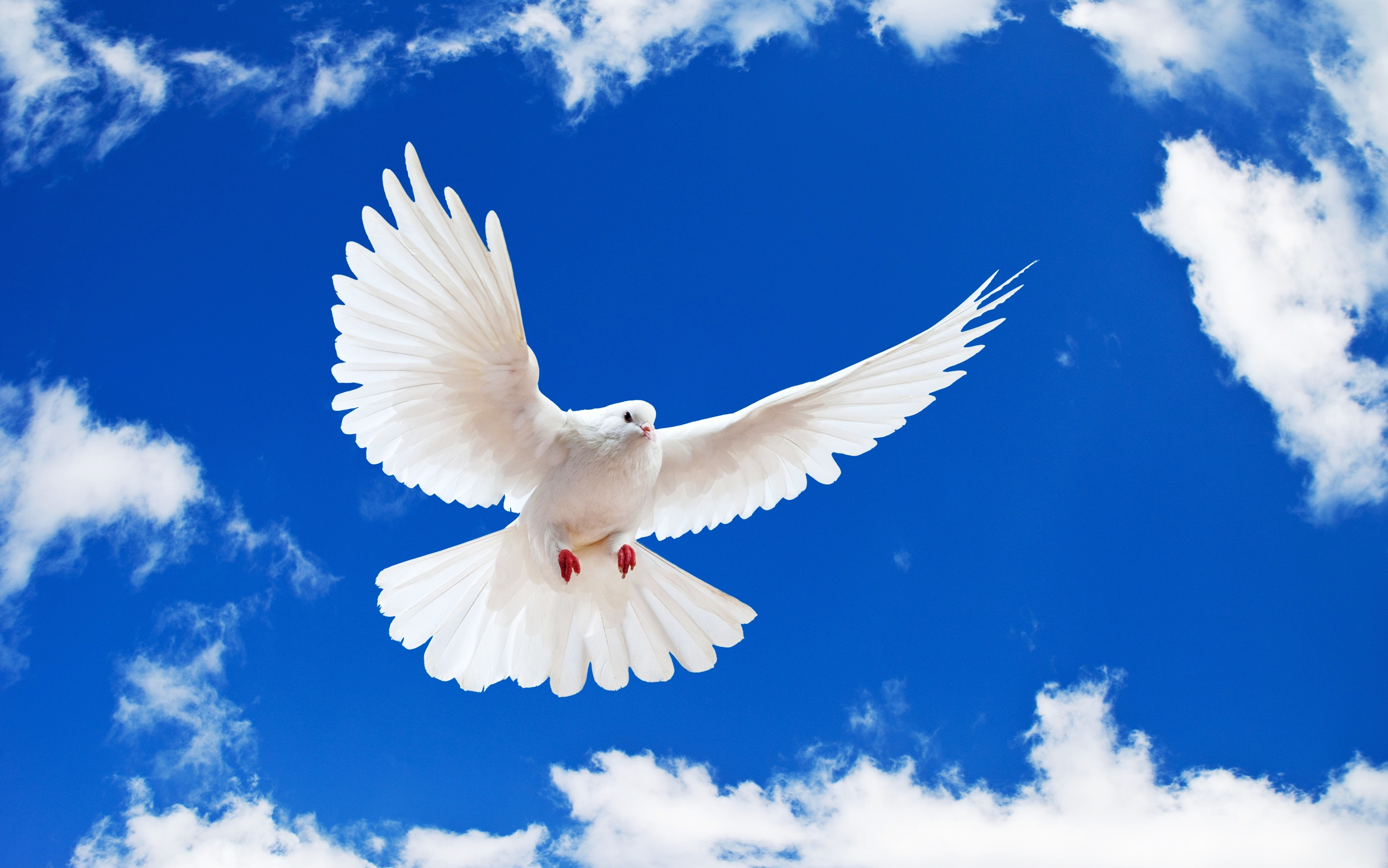 white dove birds images