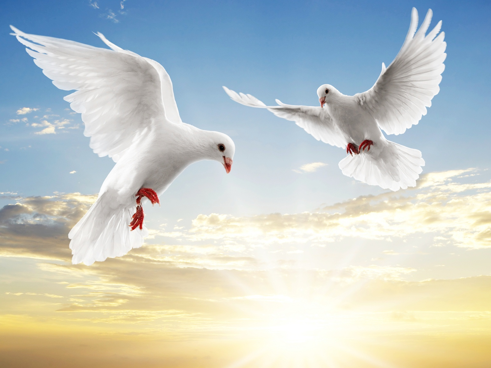 bird white dove top wide wallpaper