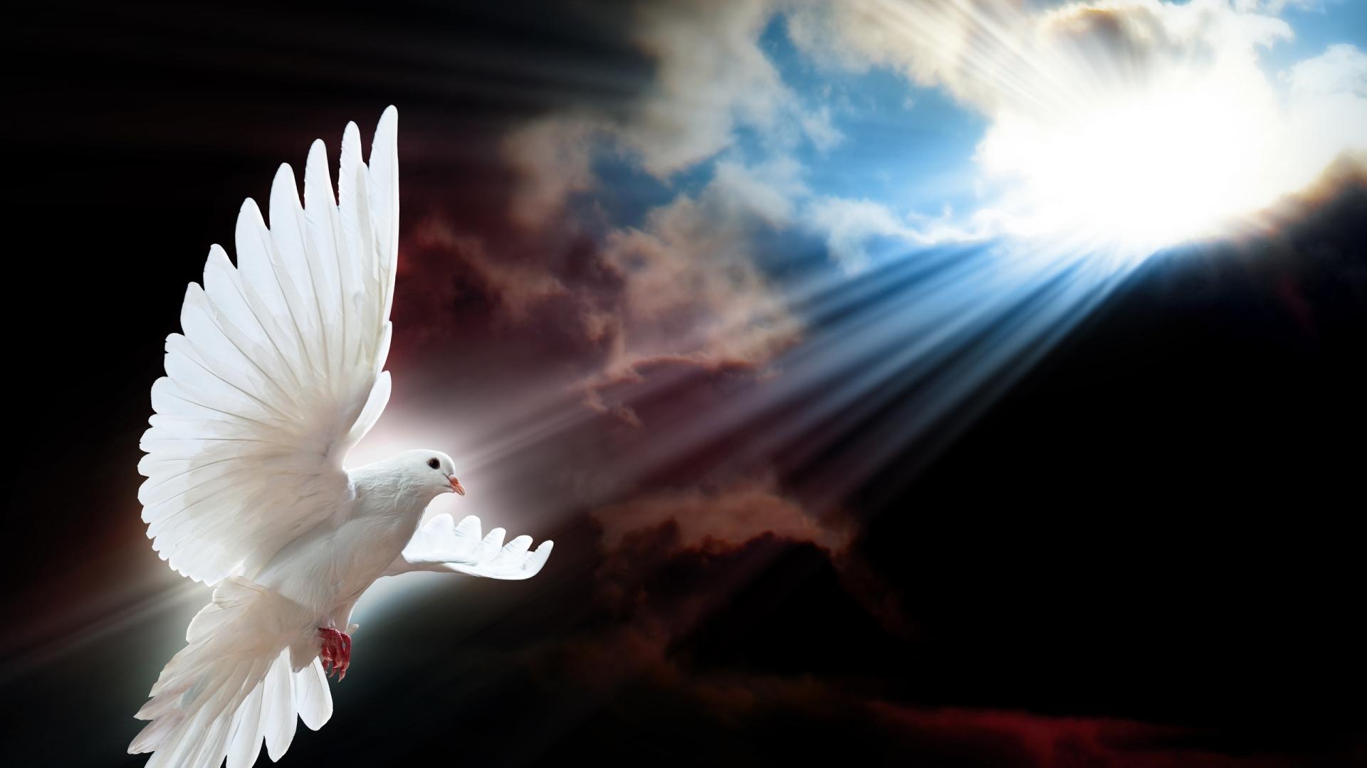 white dove wings desktop wallpaper