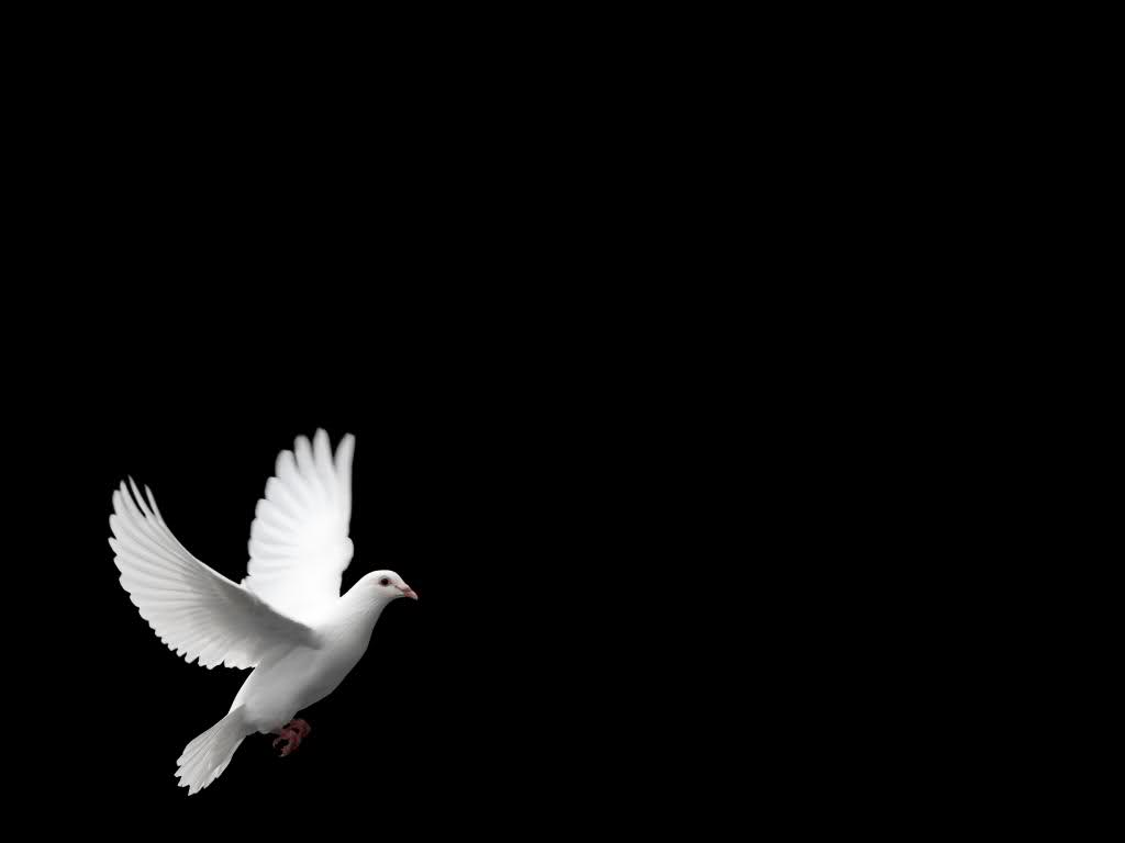 Tags: white dove wallpaper
