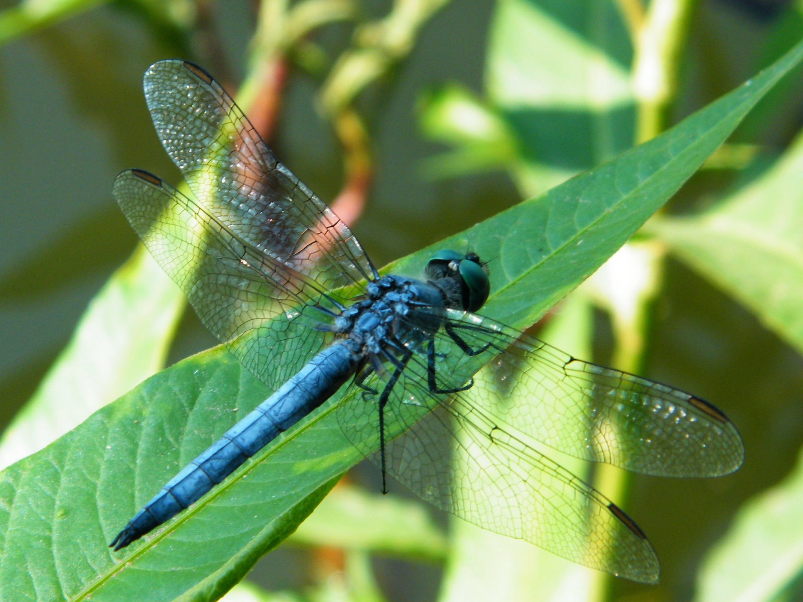 Insect Blue Dragonfly On A Leaf Photo Picture Gallery HD Wallpapers PC Desktop