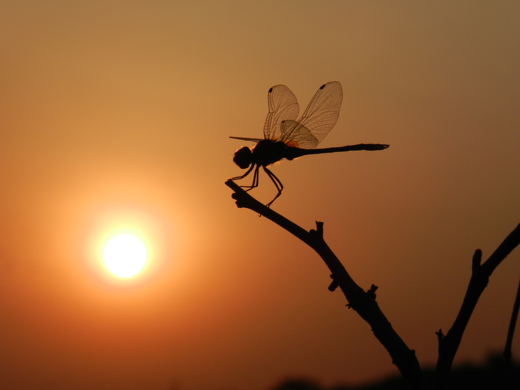 ... Dragonfly and sunset | by Nipun Garg