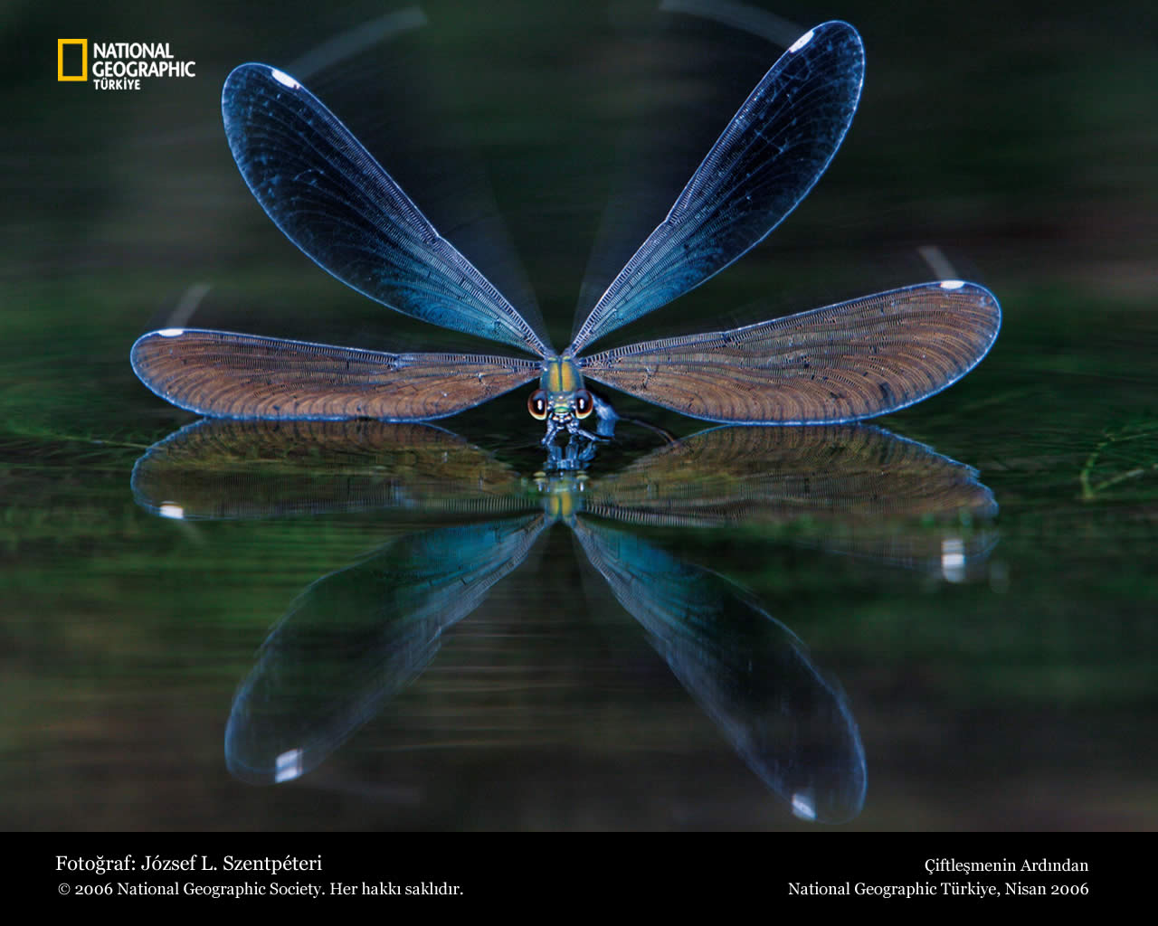 Dragonfly Blue Wallpaper Animal Backgrounds
