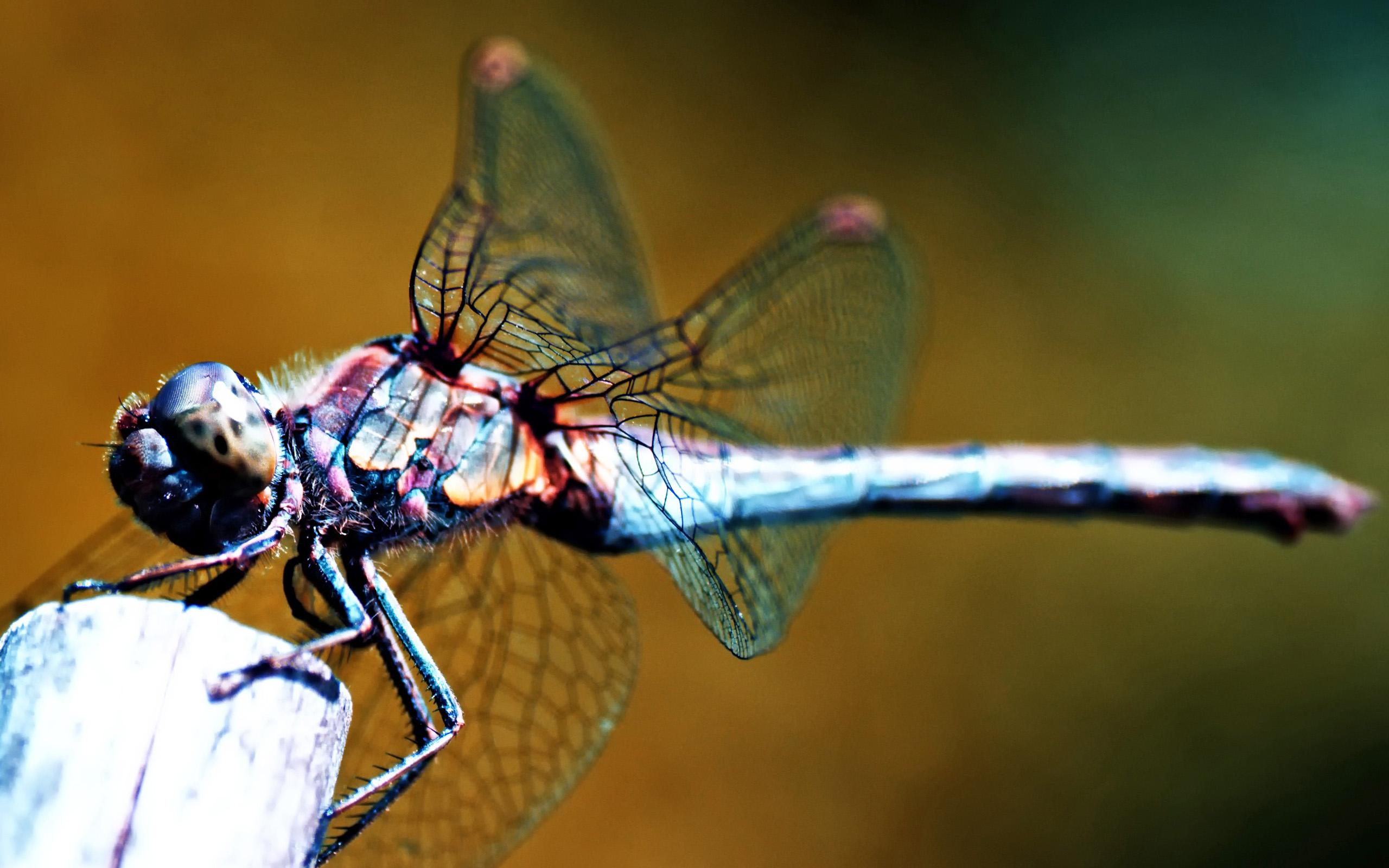 ... Dragonfly Wallpaper ...