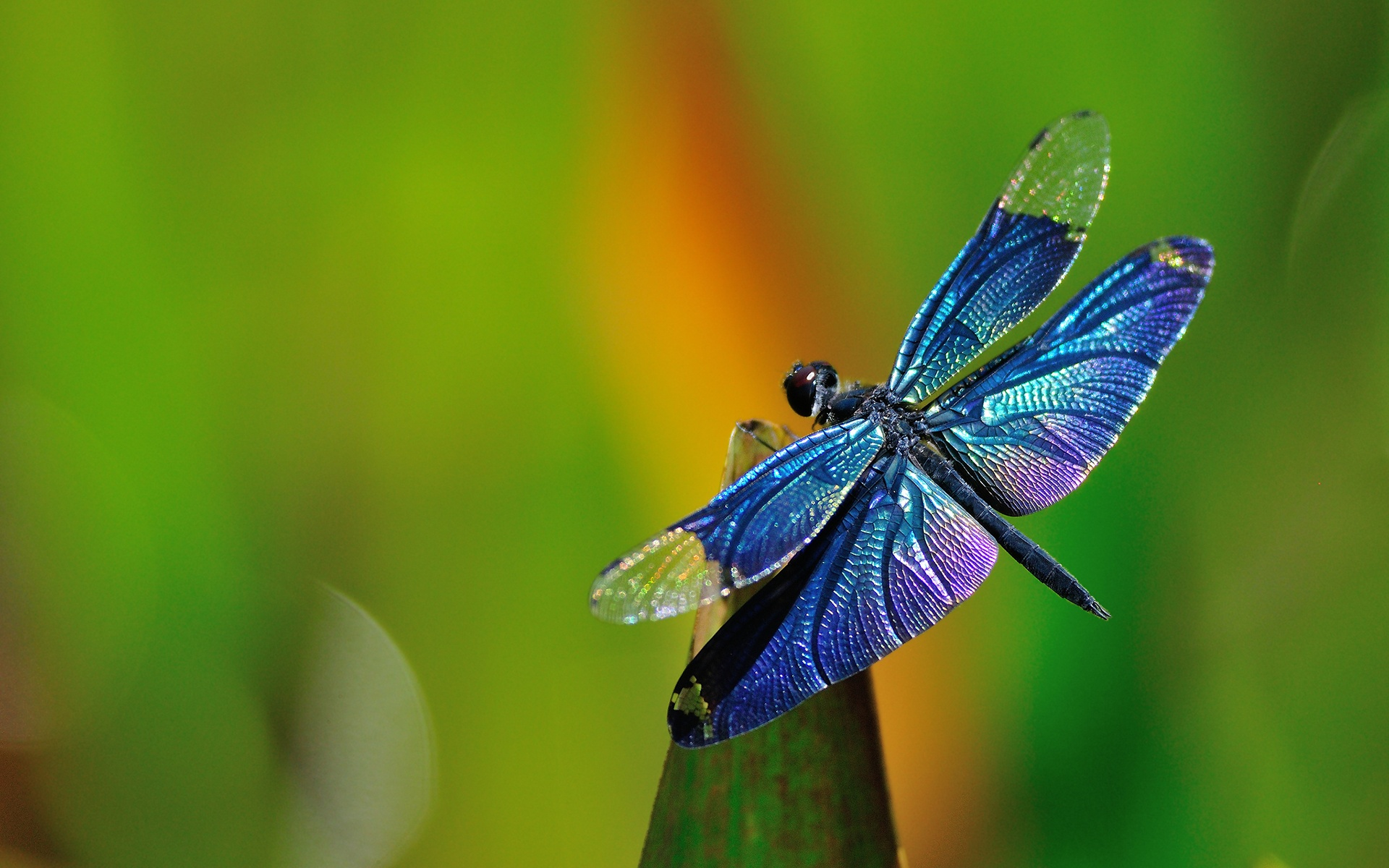 Dragonfly HD Wallpaper