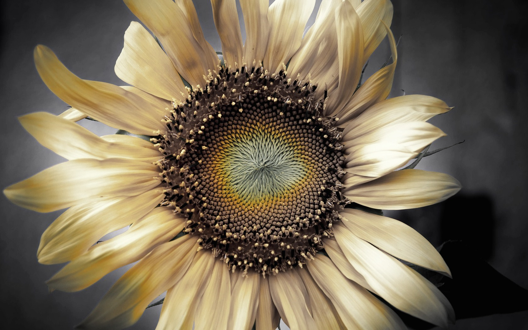 Dry Flower Sunflower Petals Photo