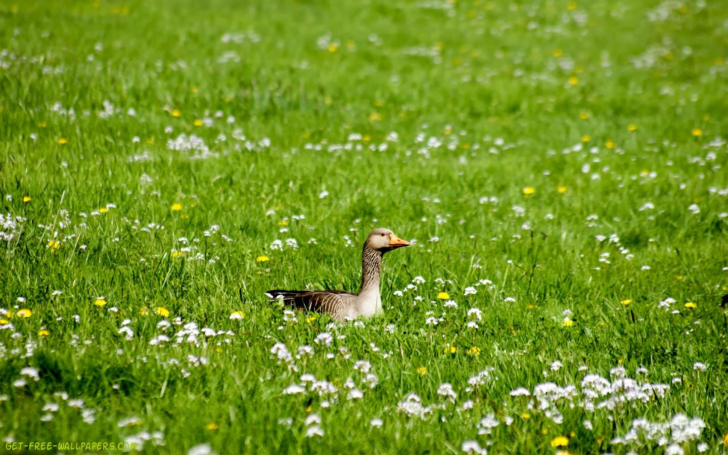 Duck On The Grass 1440X900 Photo