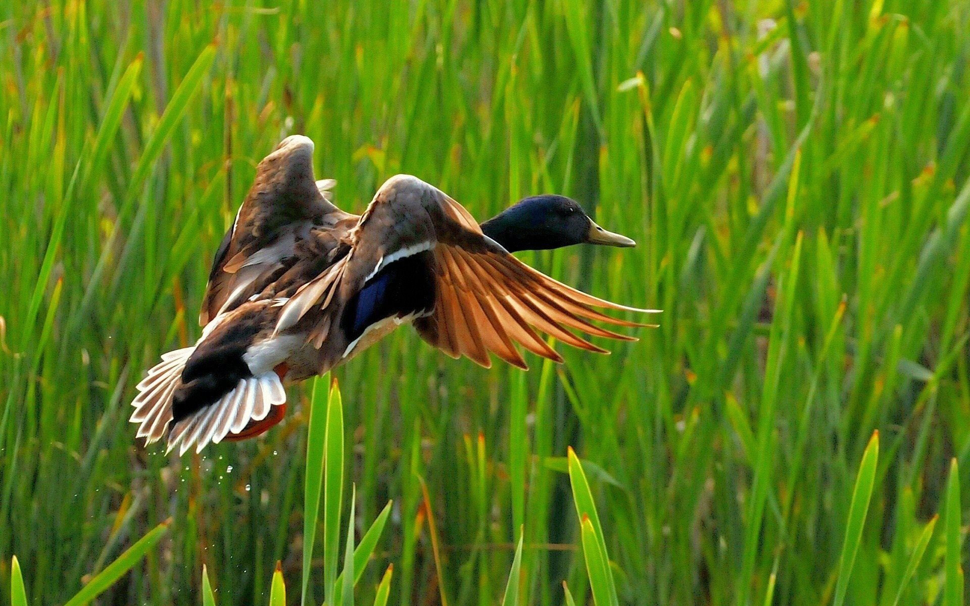 Wild Duck Flying Lake Nature HD Wallpaper