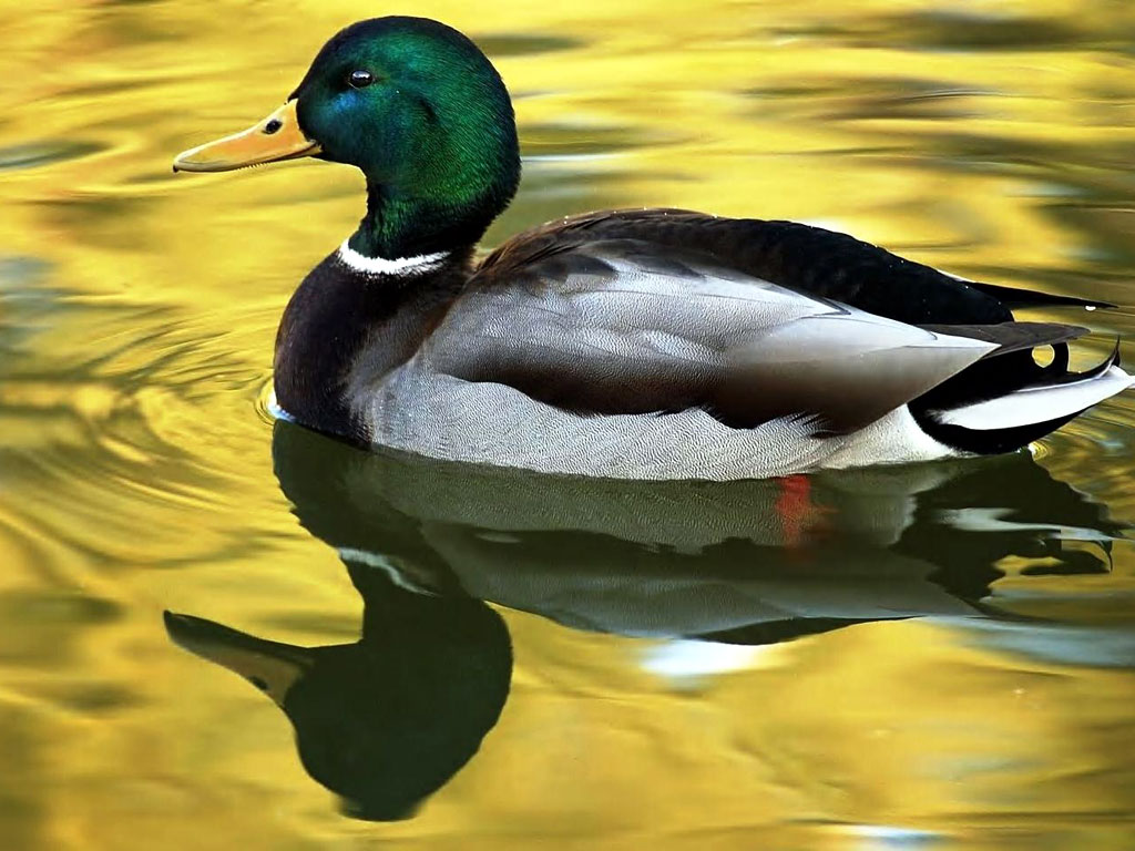 (11) Exotic Pictures of Beautiful Duck that will make feels serene.