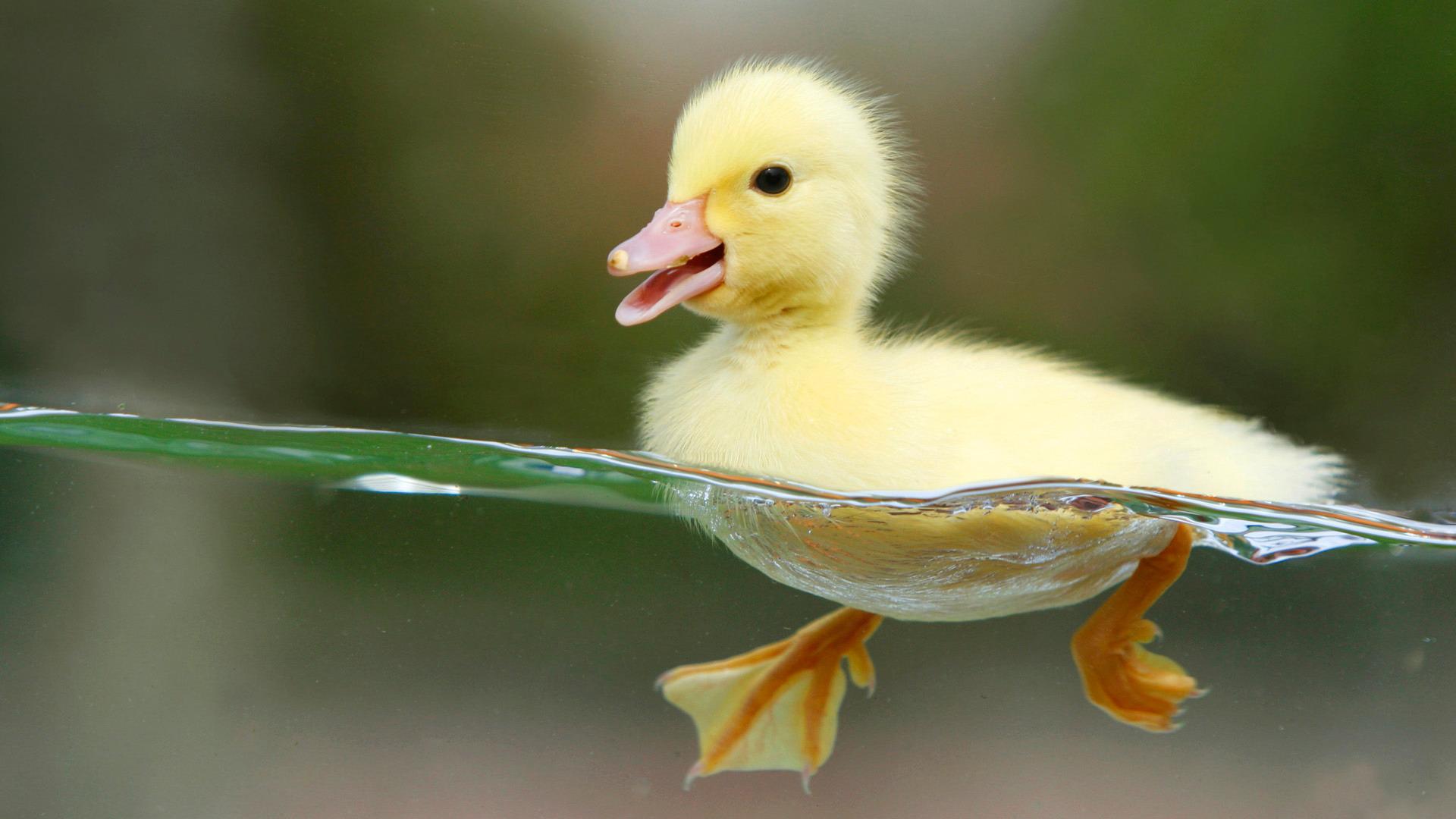 Duckling · Duckling · Duckling · Duckling · Duckling Pictures ...