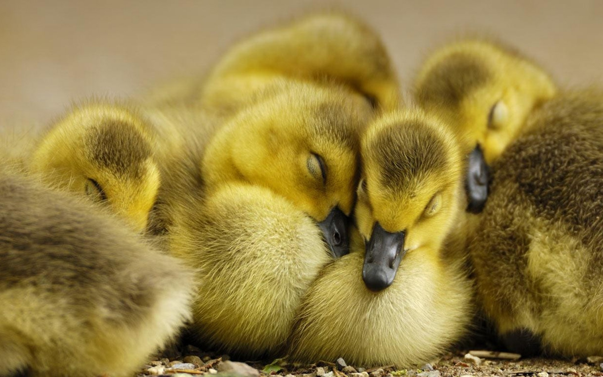 Cute Duckling Wallpaper