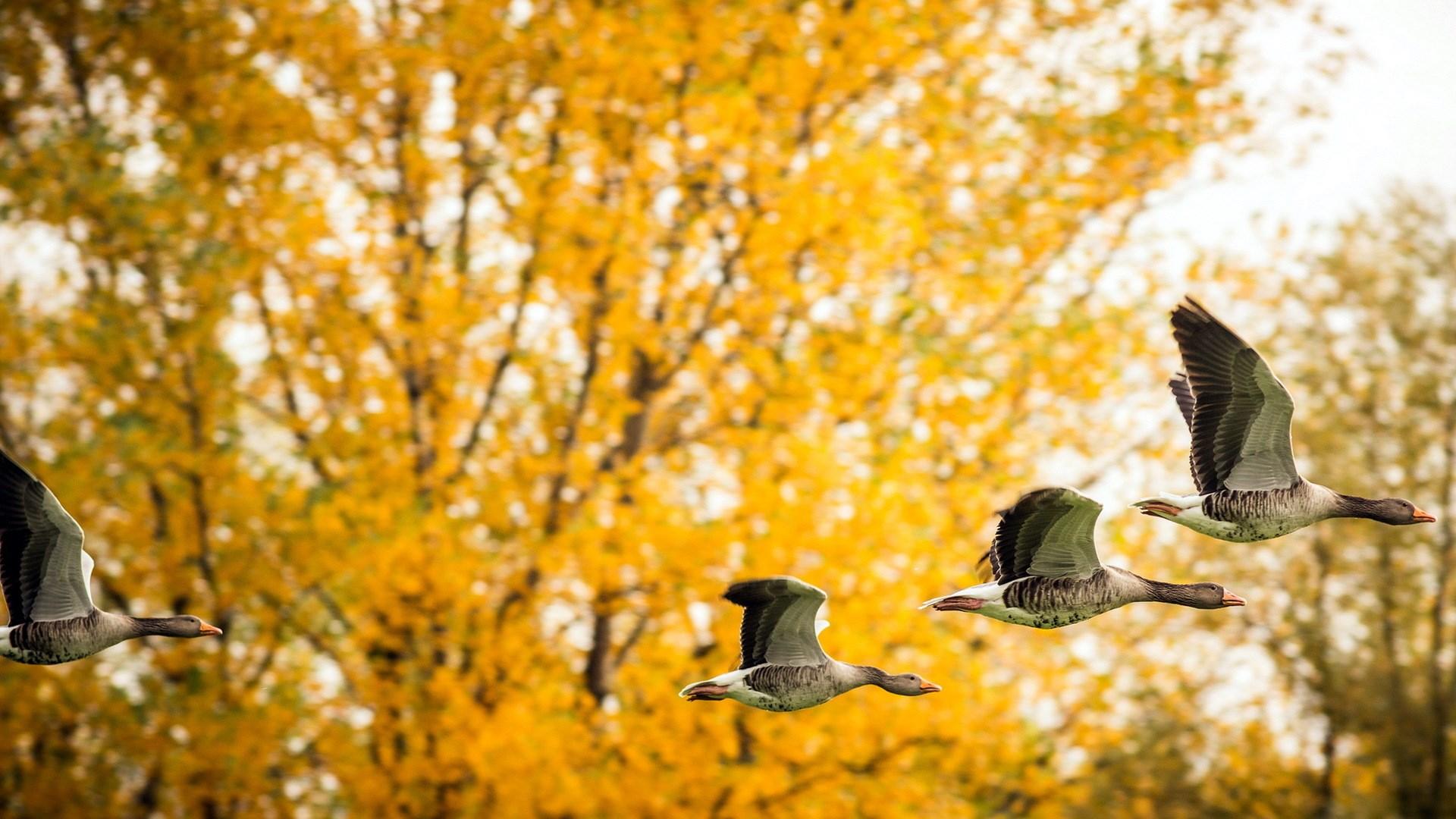 Ducks Birds Fall Nature