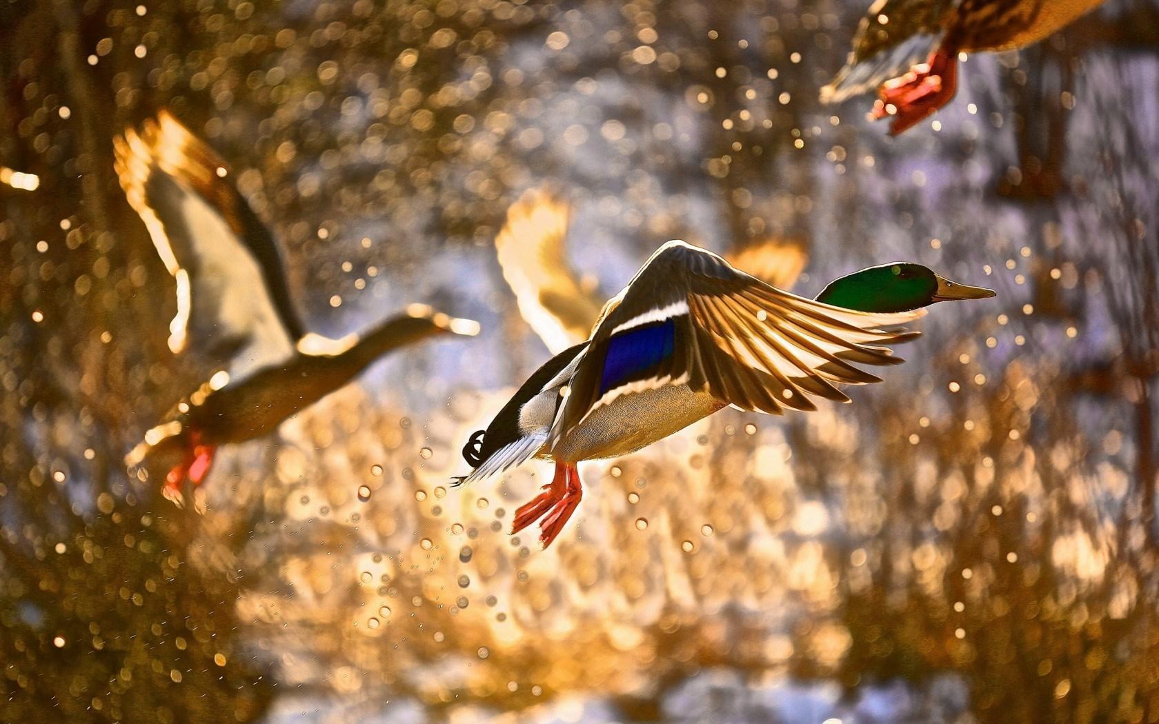 Ducks Birds Flying Lake