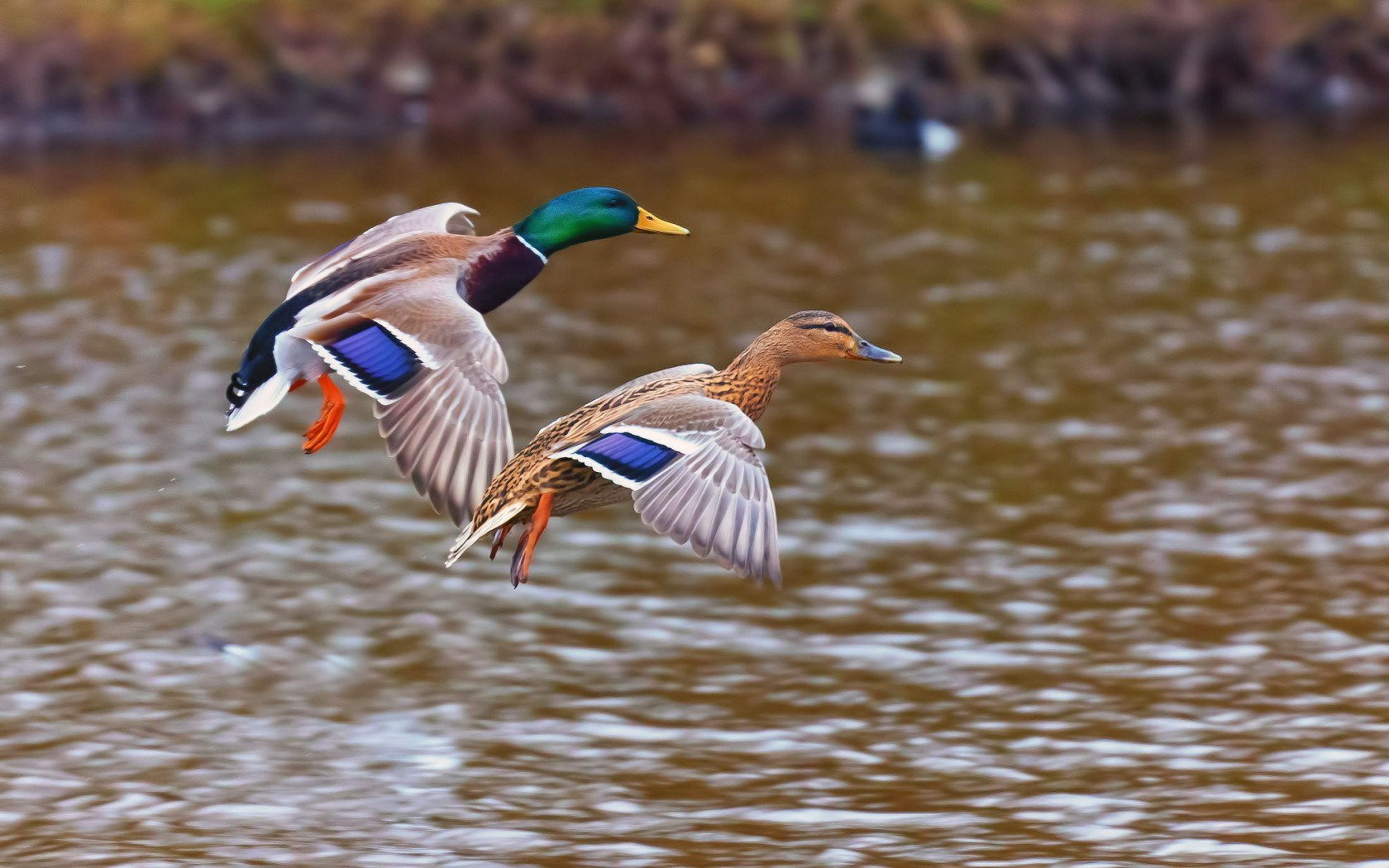 Ducks Wild Birds Lake Nature