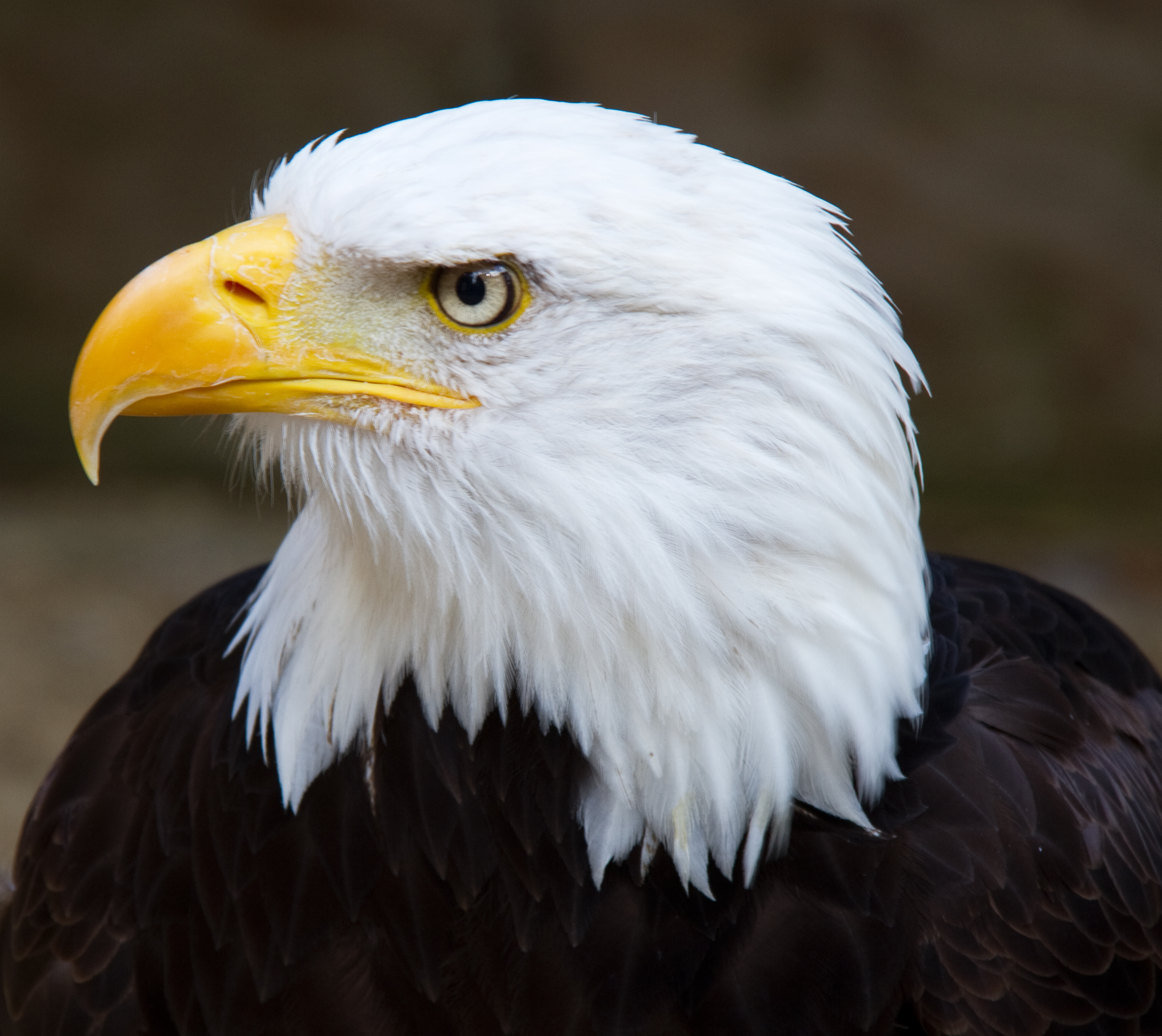 File:Bald Eagle Head 2 (6021915997).jpg - Wikimedia Commons