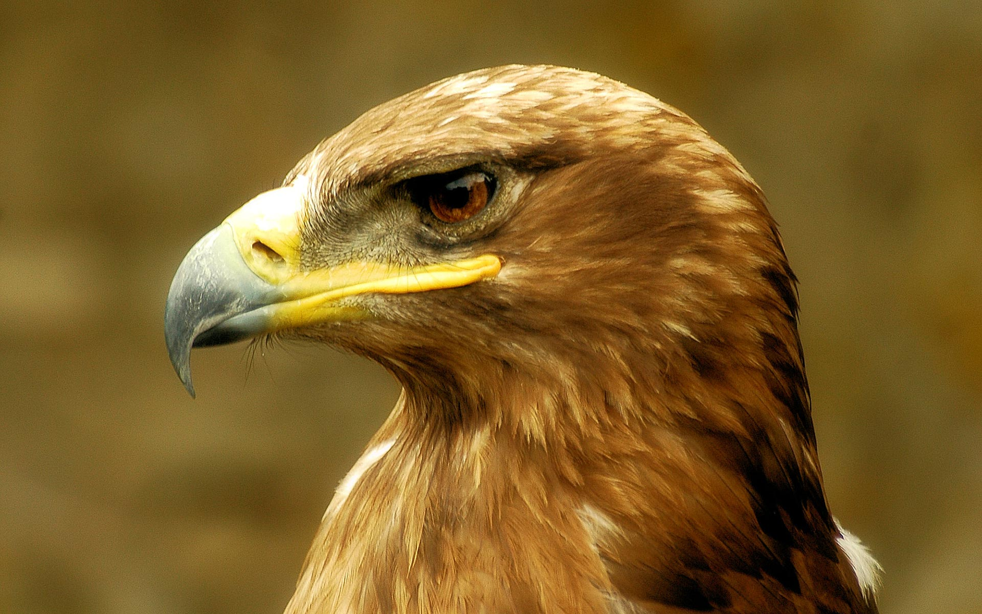Brown Eagle Head wallpaper