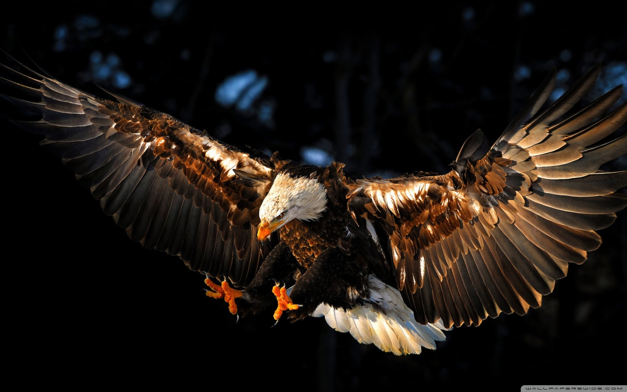 HD Wallpaper | Background ID:427959. 1280x800 Animal Eagle