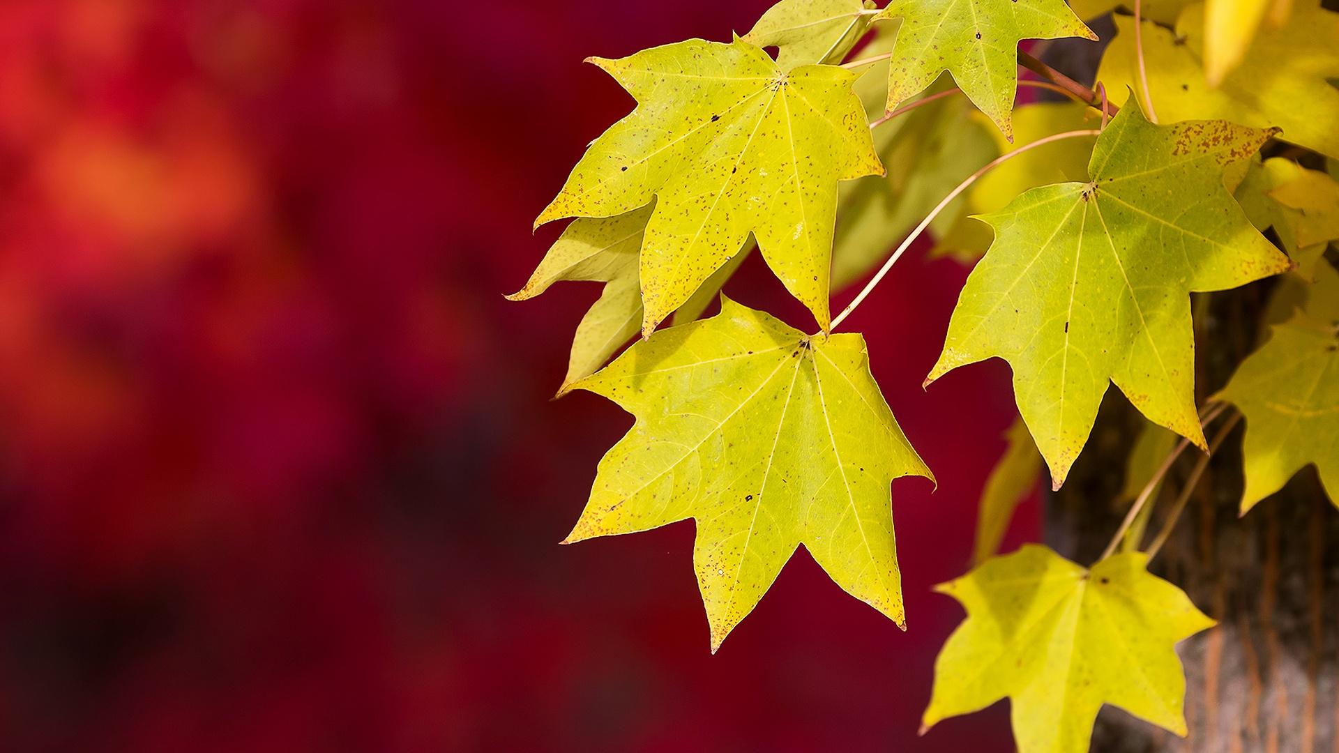 Ears of Corn Grain Wheat Leaves Yellow Autumn