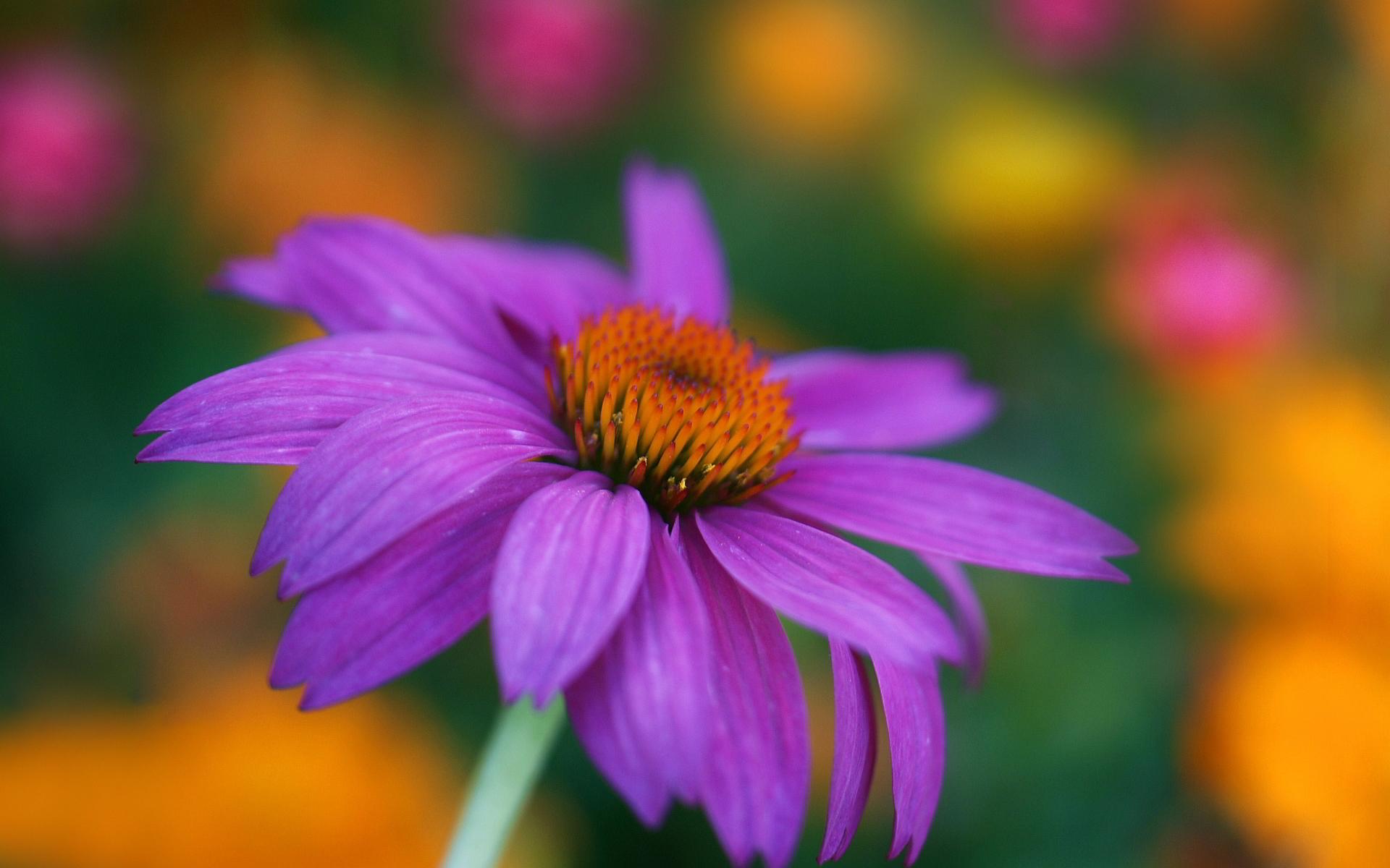 Echinacea purpurea head