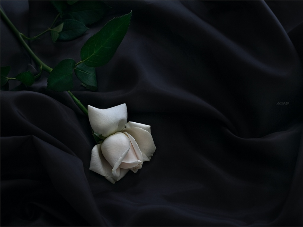 Elegant Rose Wallpaper