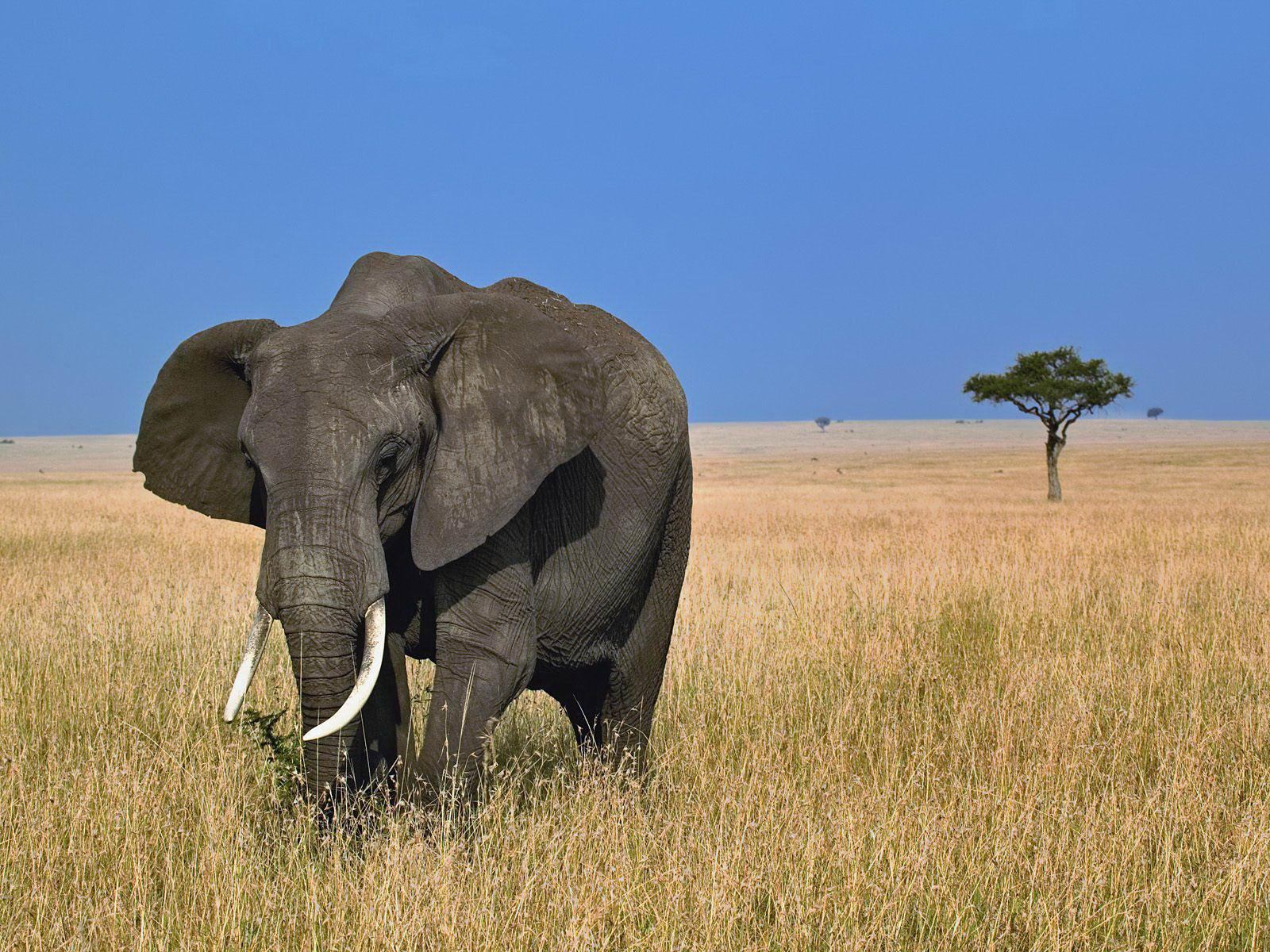 African Elephant Now a Frightened Species