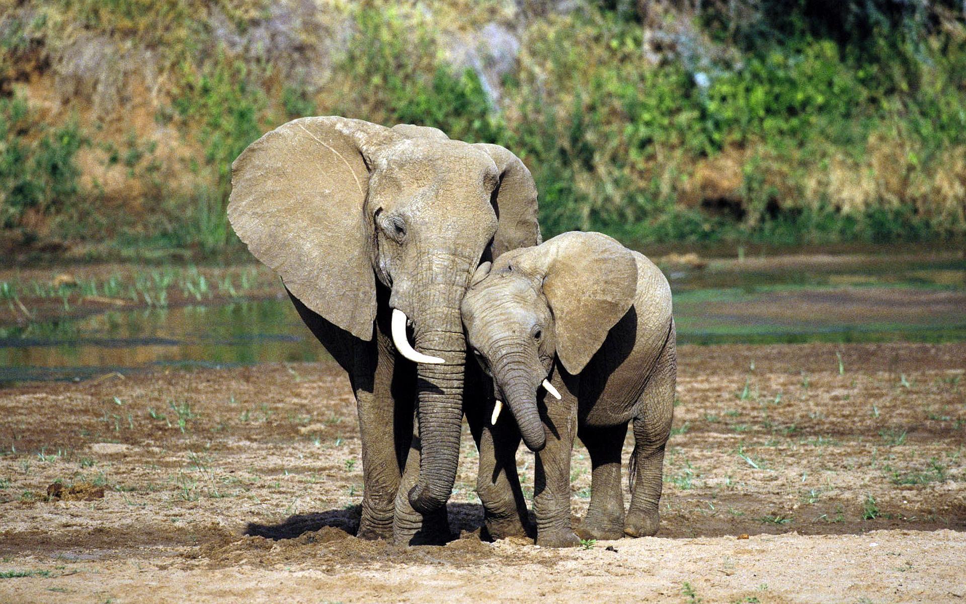 Elephant Mother Baby