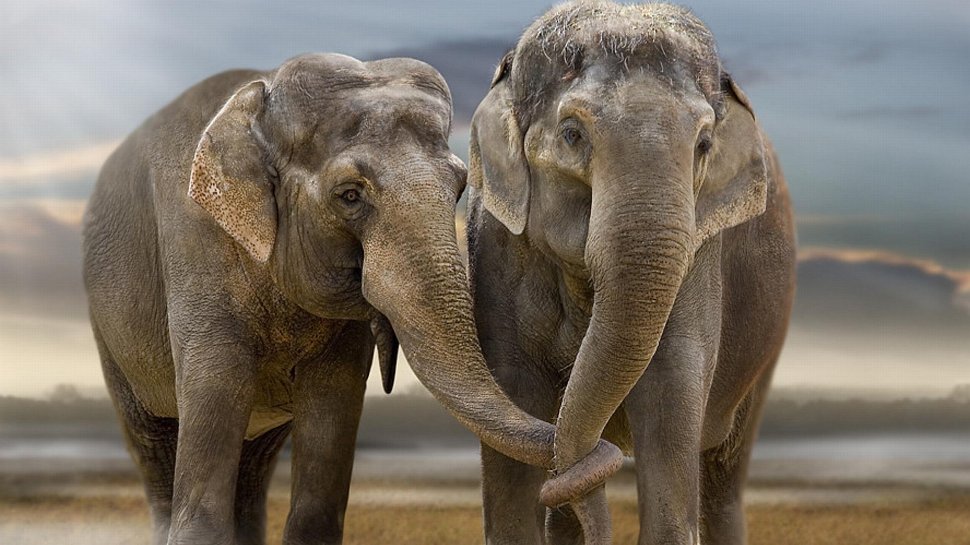 Elephant Wallpaper 10