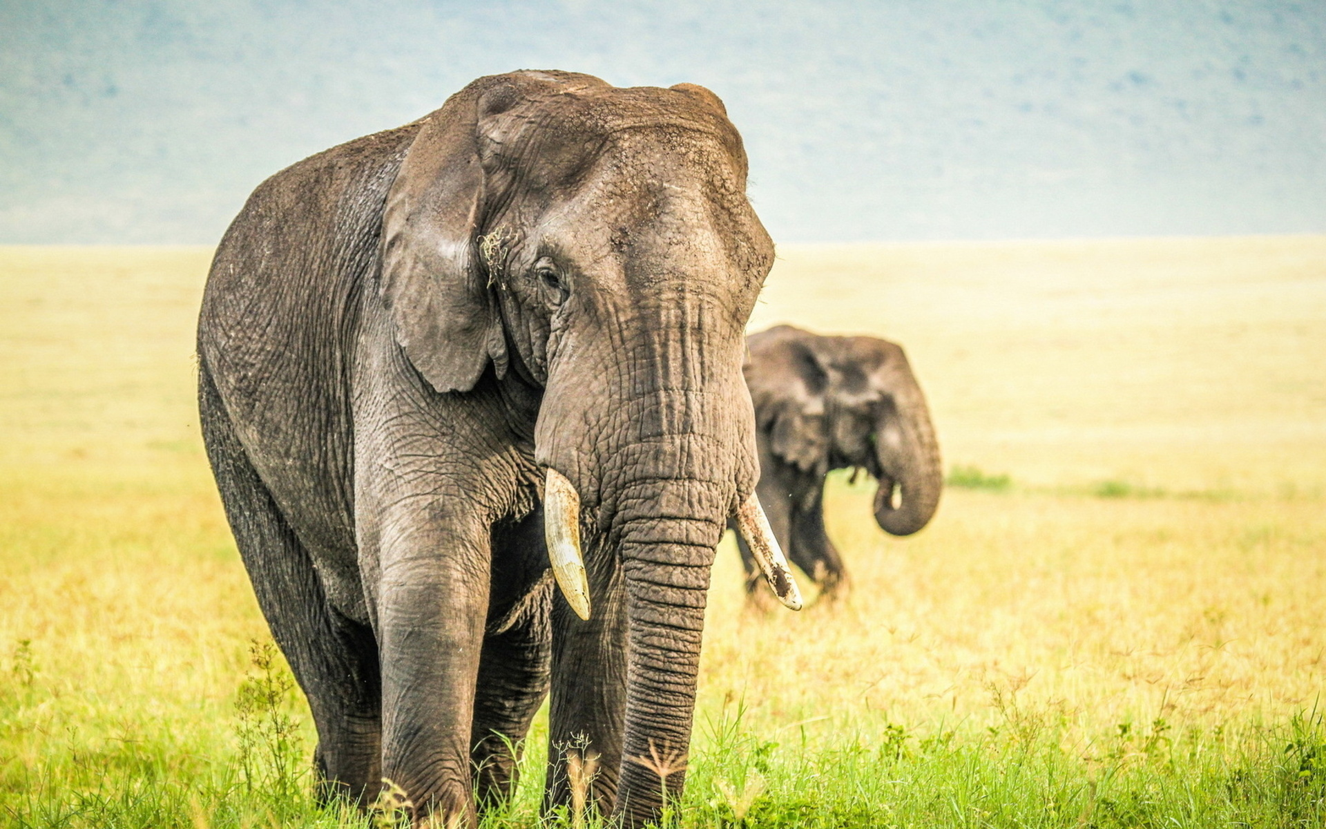 HD Wallpaper   Background ID:383296. 1920x1200 Animal Elephant