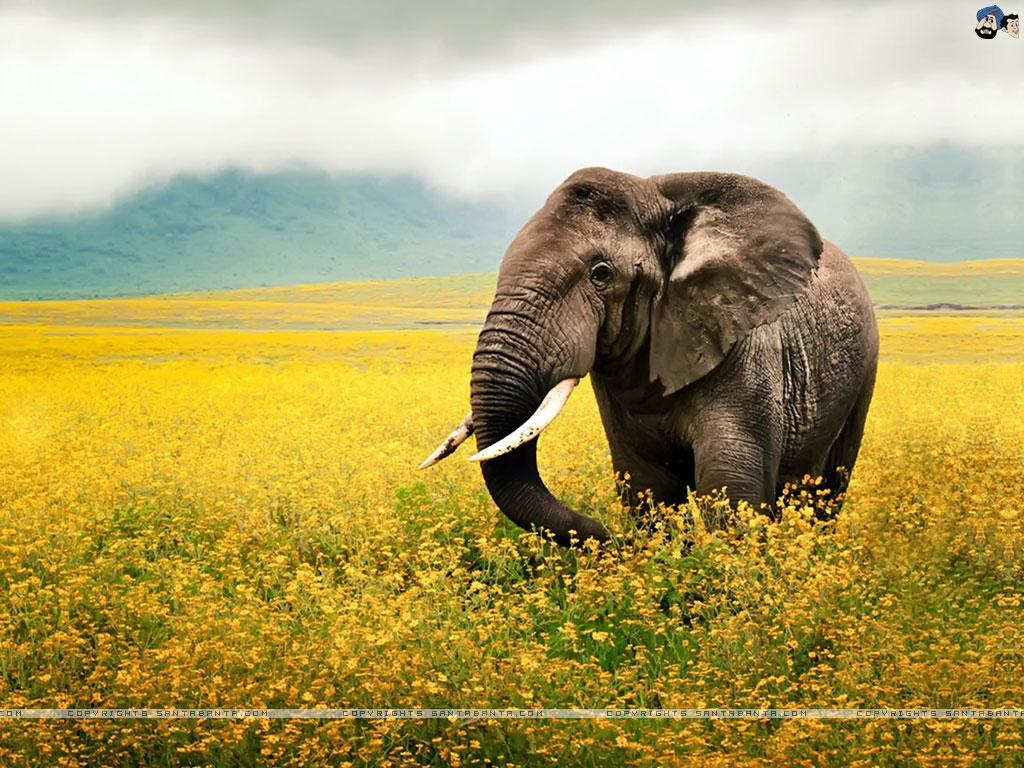 Elephant Wallpaper