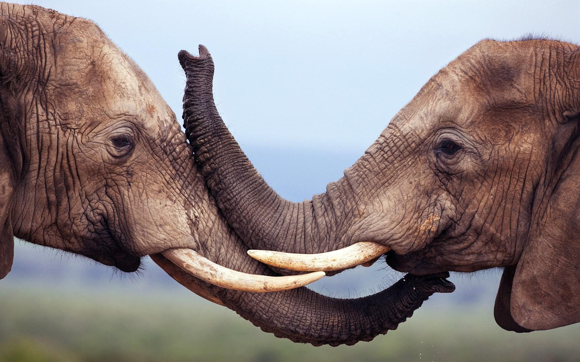 Elephants Wildlife