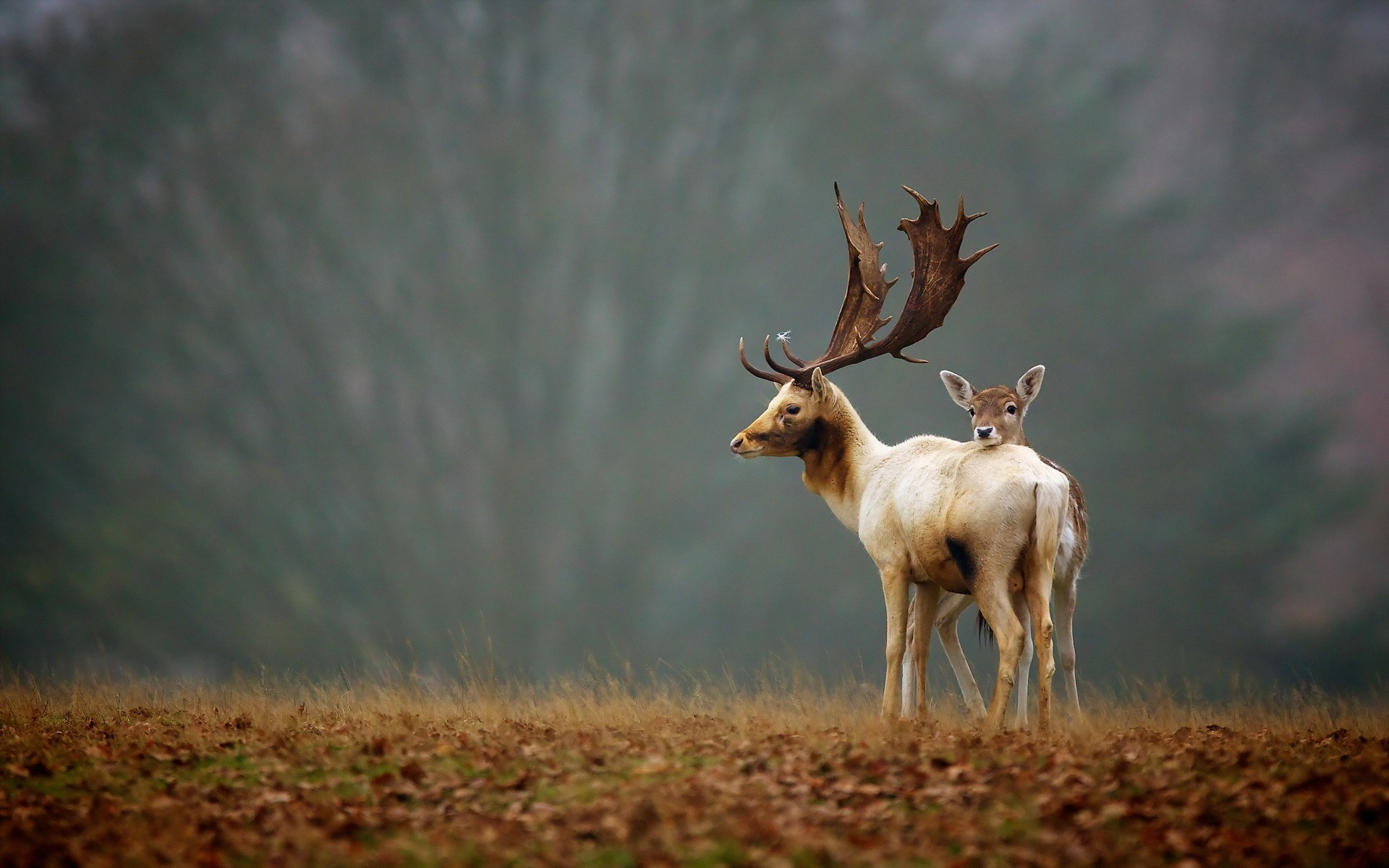 elk animals nature landscapes trees fields grass wildlife babies fawn horns antlers wallpaper background