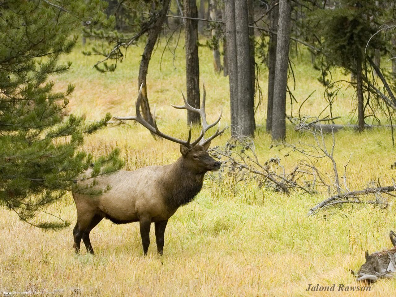 bull elk wallpaper