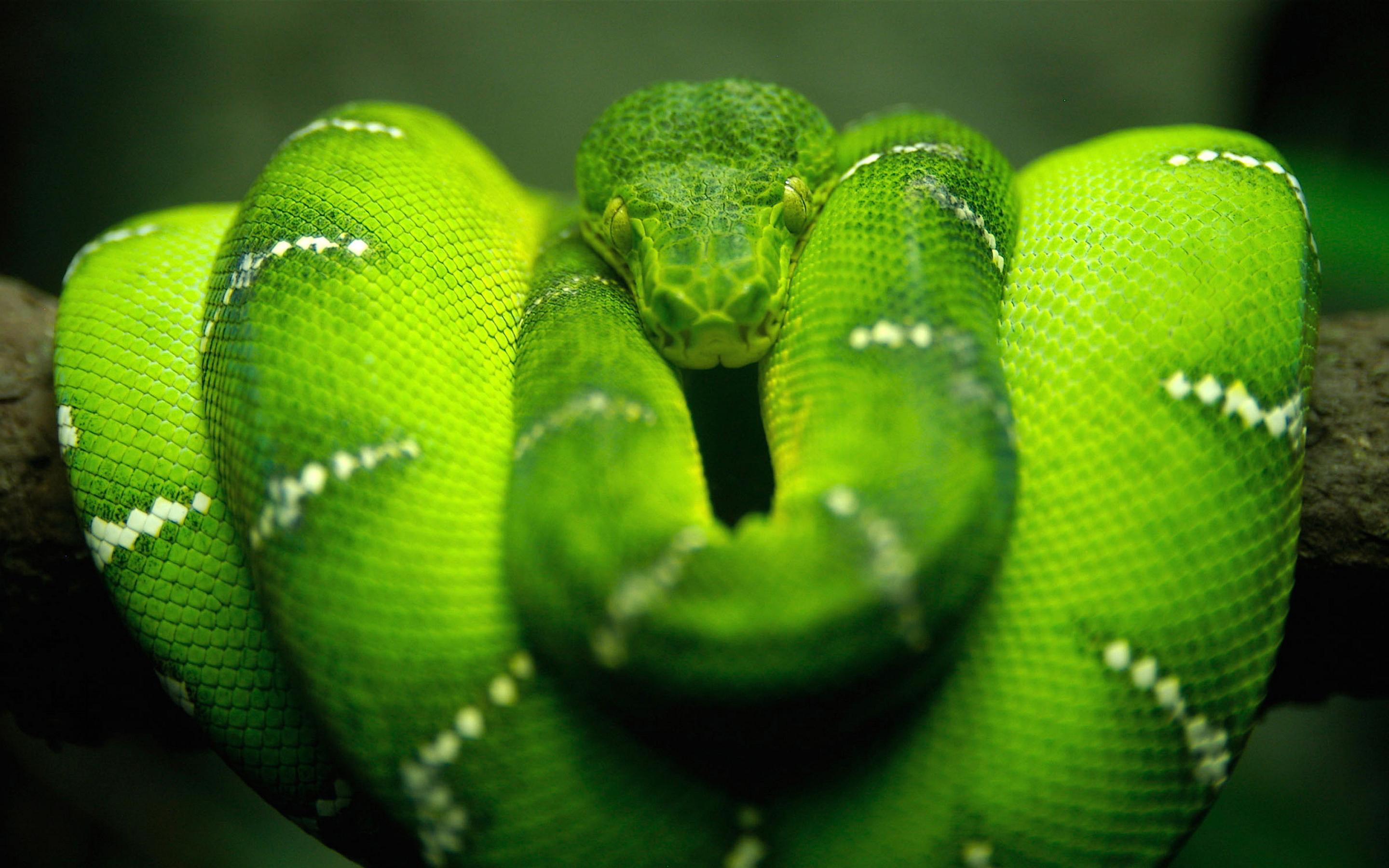 Emerald tree boa. open in new window.