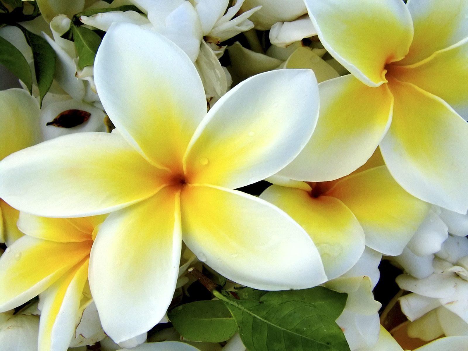 Tropical Flowers Desktop Wallpaper · Tropicalflowerwallpaperjpg